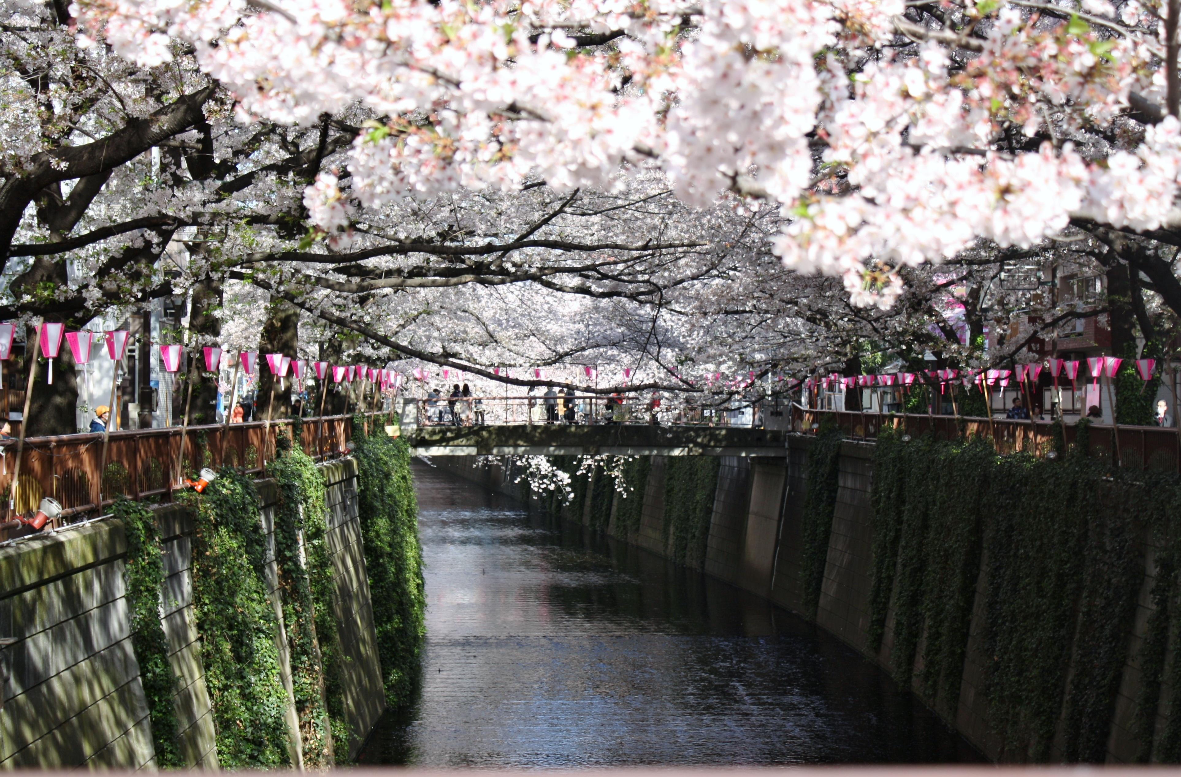 города сакура сена картинки это был
