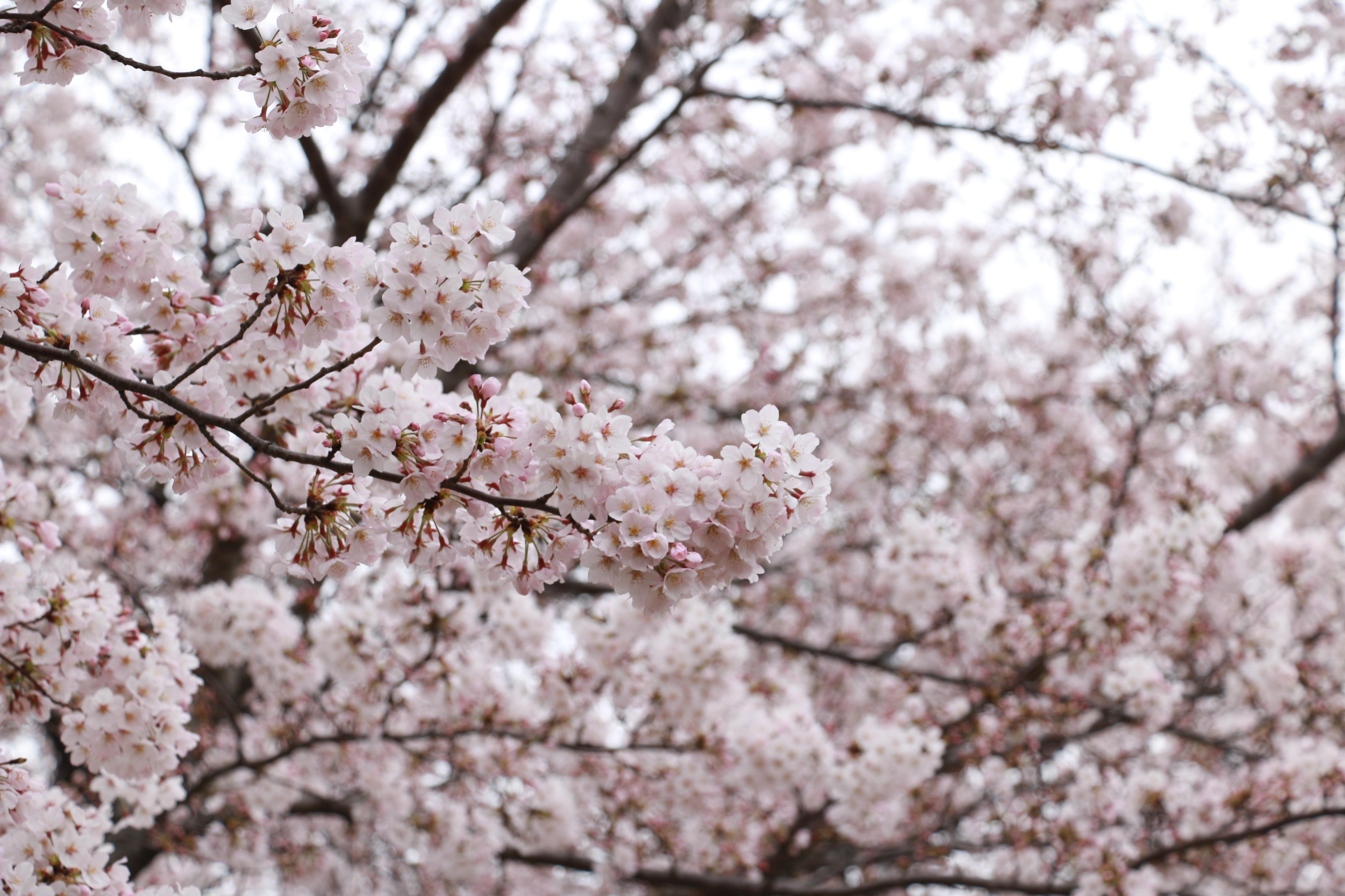 неё картинки с вишневым цветом щуки