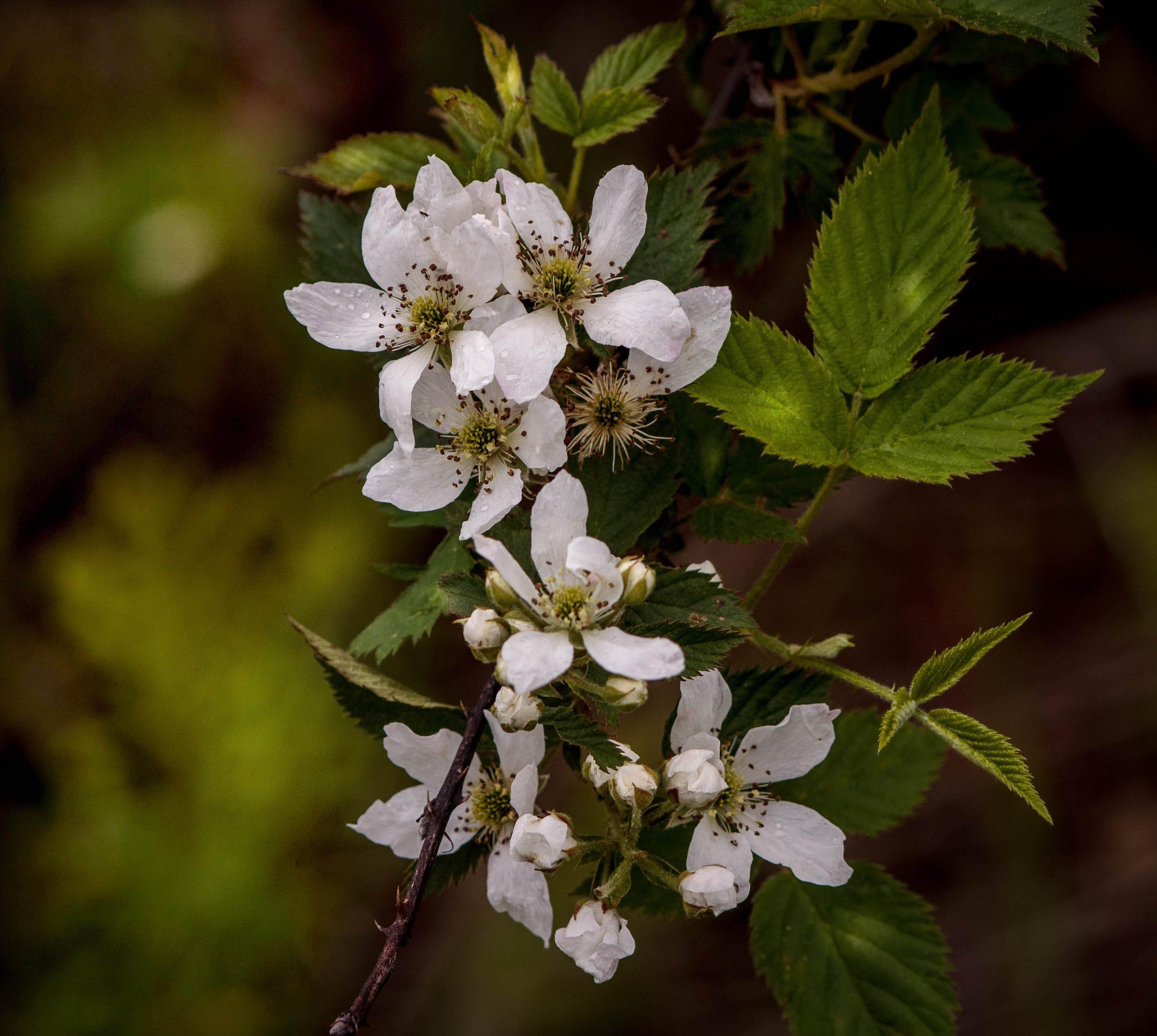 banco de imagens ramo flor plantar fruta flor comida produzir botnica flora flores silvestres arbusto espinhos macro fotografia