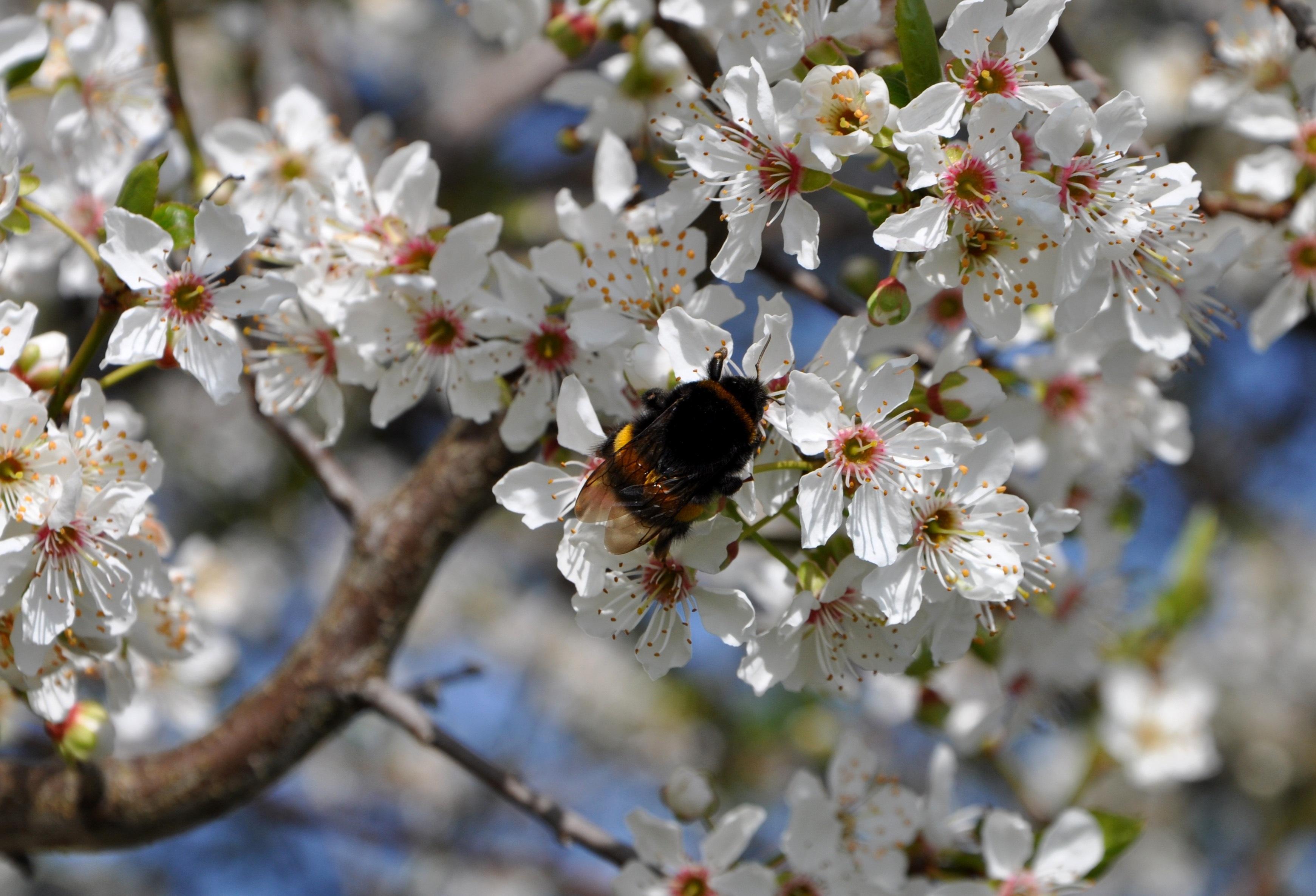 Immagini belle ramo fiorire frutta cespuglio cibo for Pianta di ciliegio