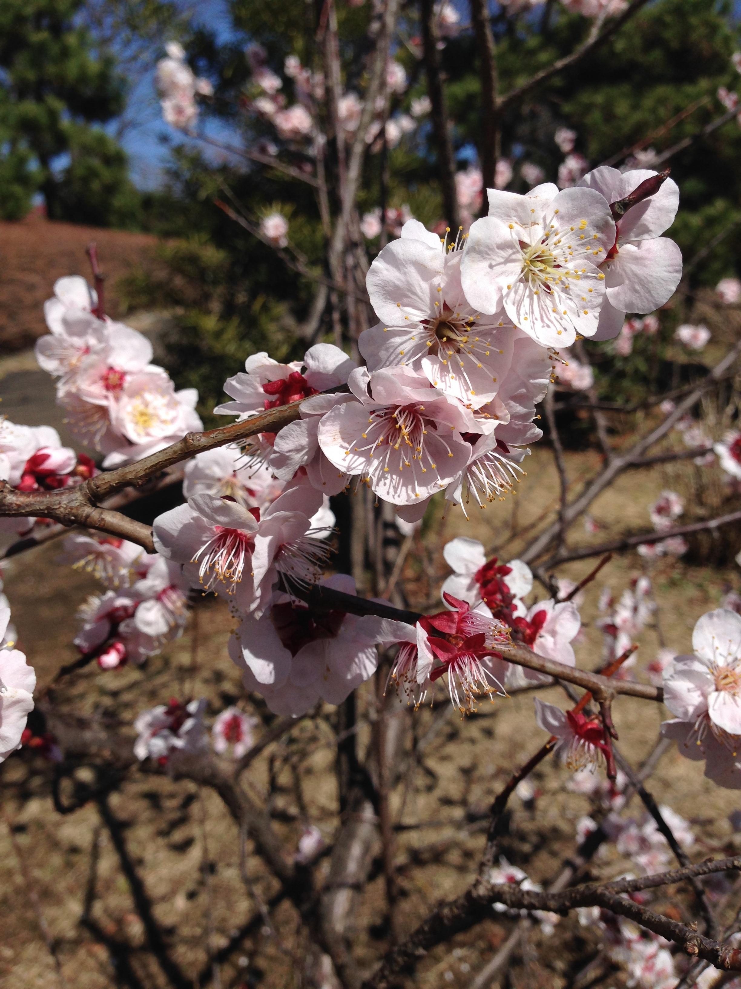 цветущая слива картинки цветок бакаутового дерева