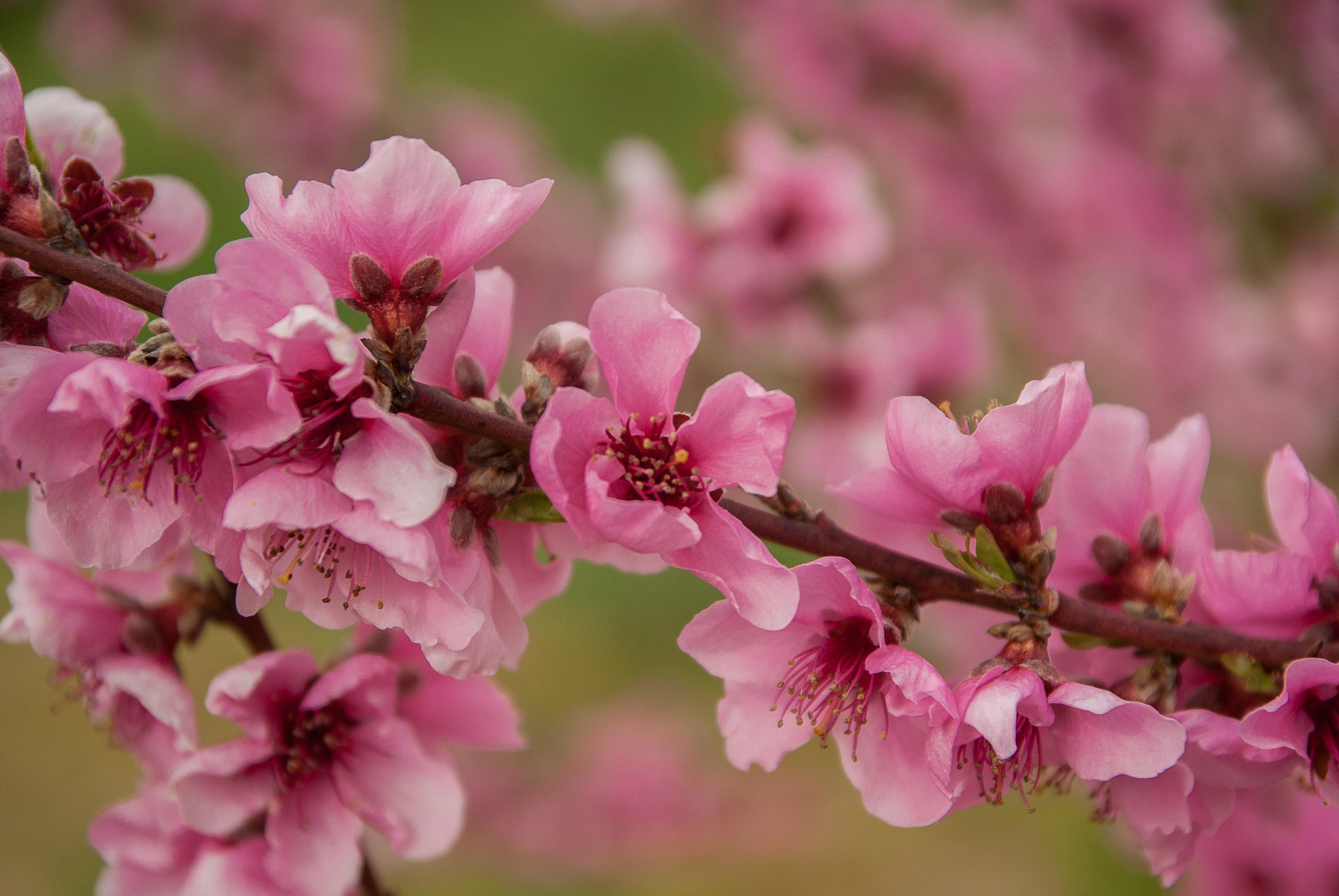 Free Images Branch Flower Petal Food Spring Produce Botany