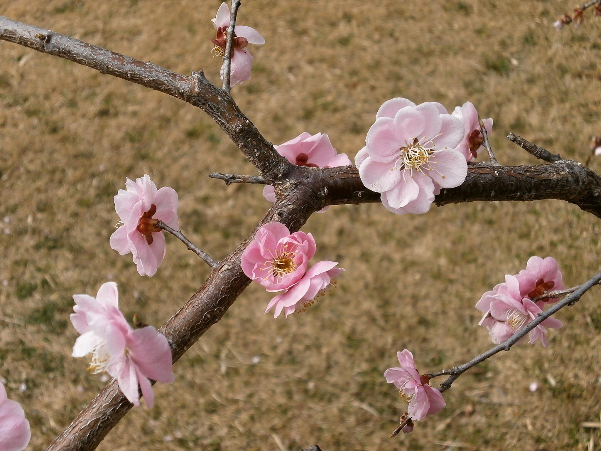 получается фотокартина ветка цветущей розовой сливы придала цвет деликатесу