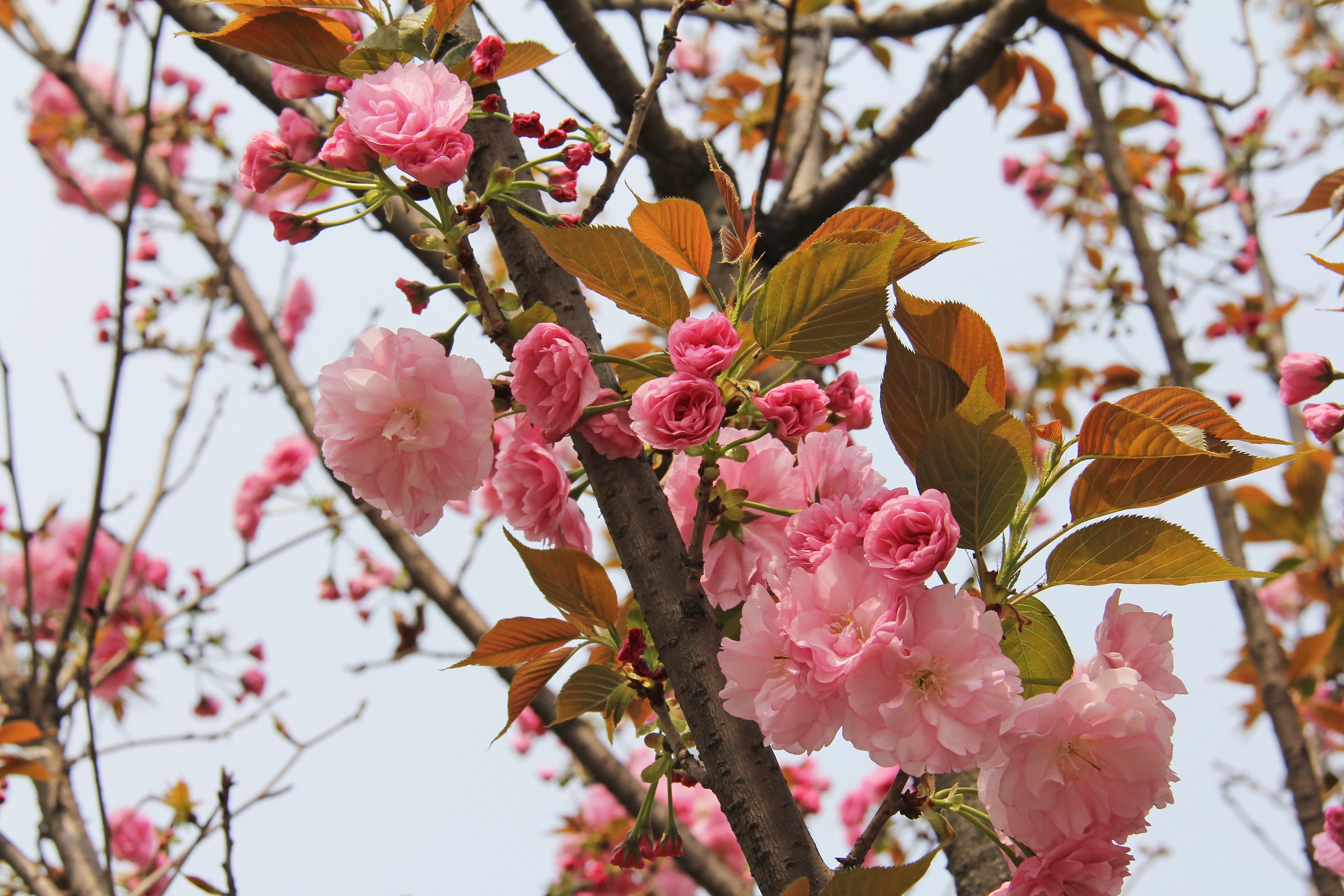 images gratuites branche feuille floraison ville aliments printemps produire asie. Black Bedroom Furniture Sets. Home Design Ideas