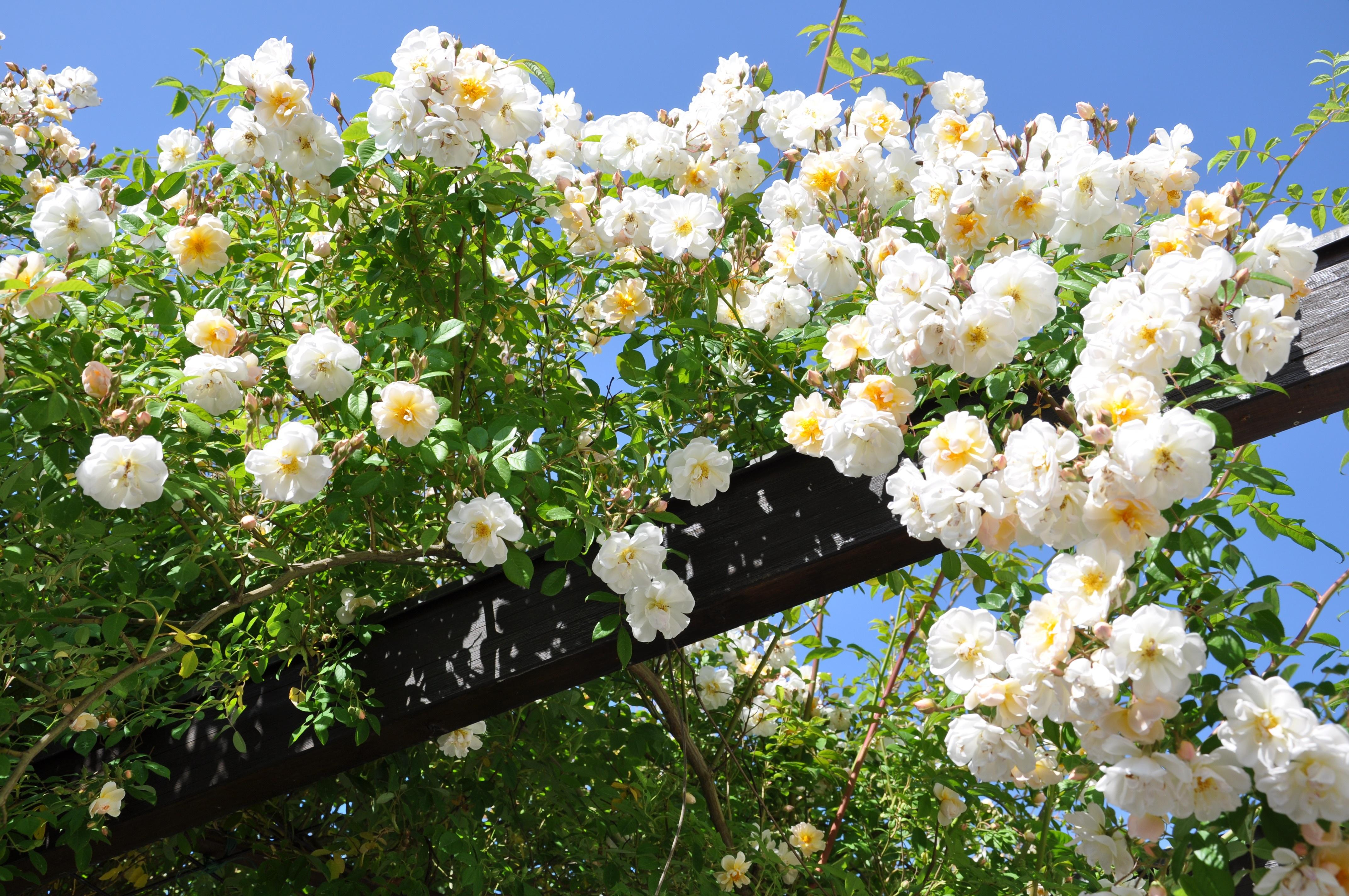 Fotos Gratis Rama Cielo Blanco Florecer Rosa Botanica Flora