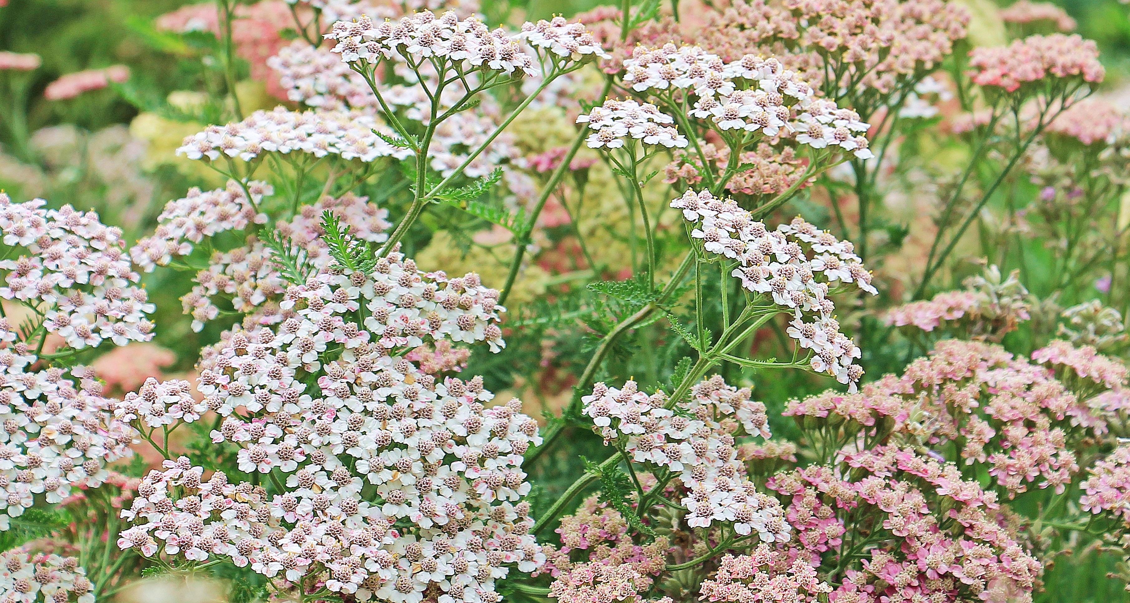 Fotos Gratis Rama Blanco Florecer Hierba Produce Botanica
