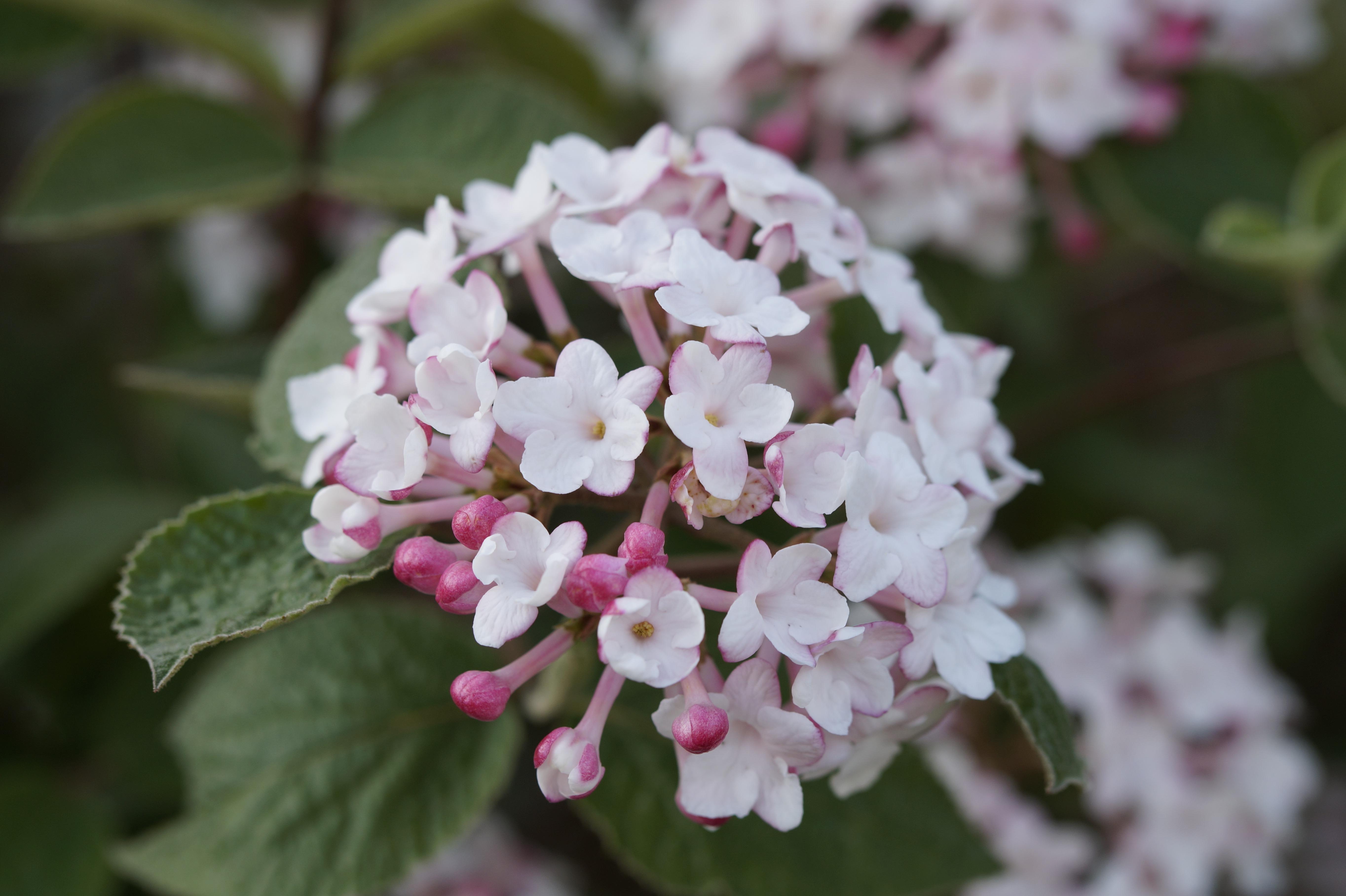 Images gratuites branche fleur blanc p tale - Boule de neige plante ...