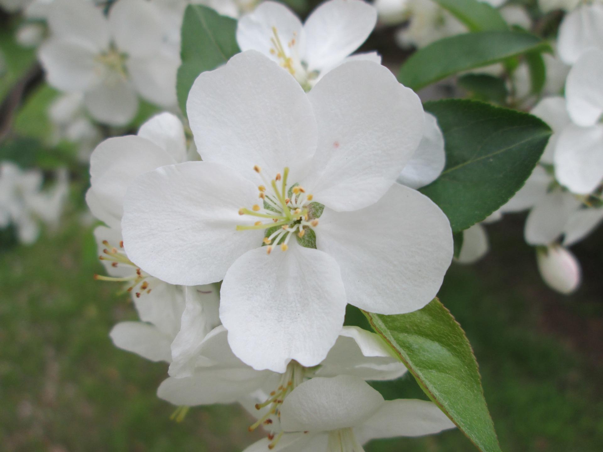 Jasmiini Kukka