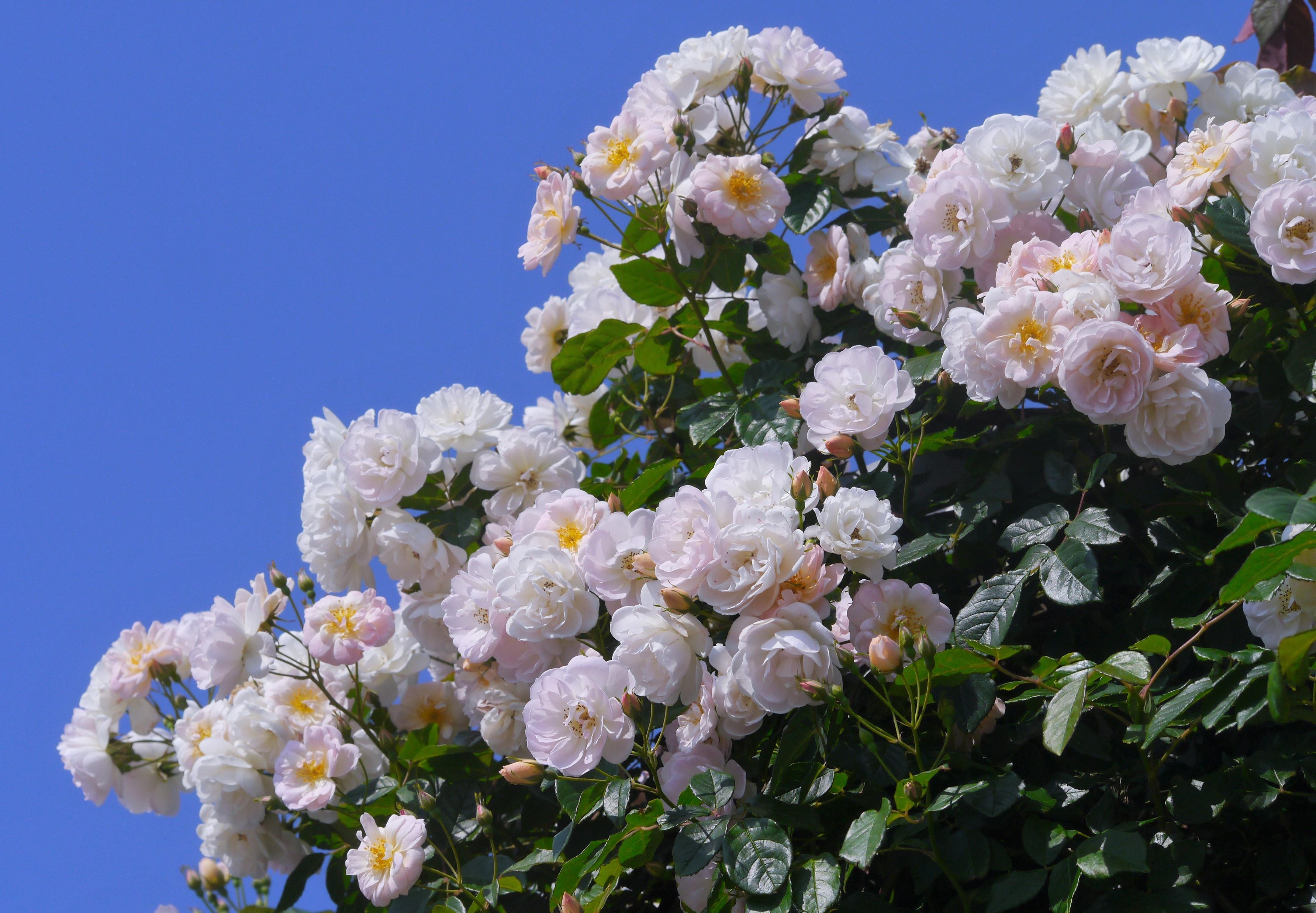 Кусты чайной розы фото