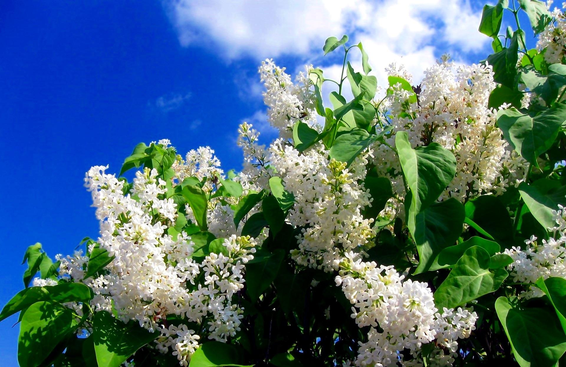 Картинки цветы сирени ичеремухи