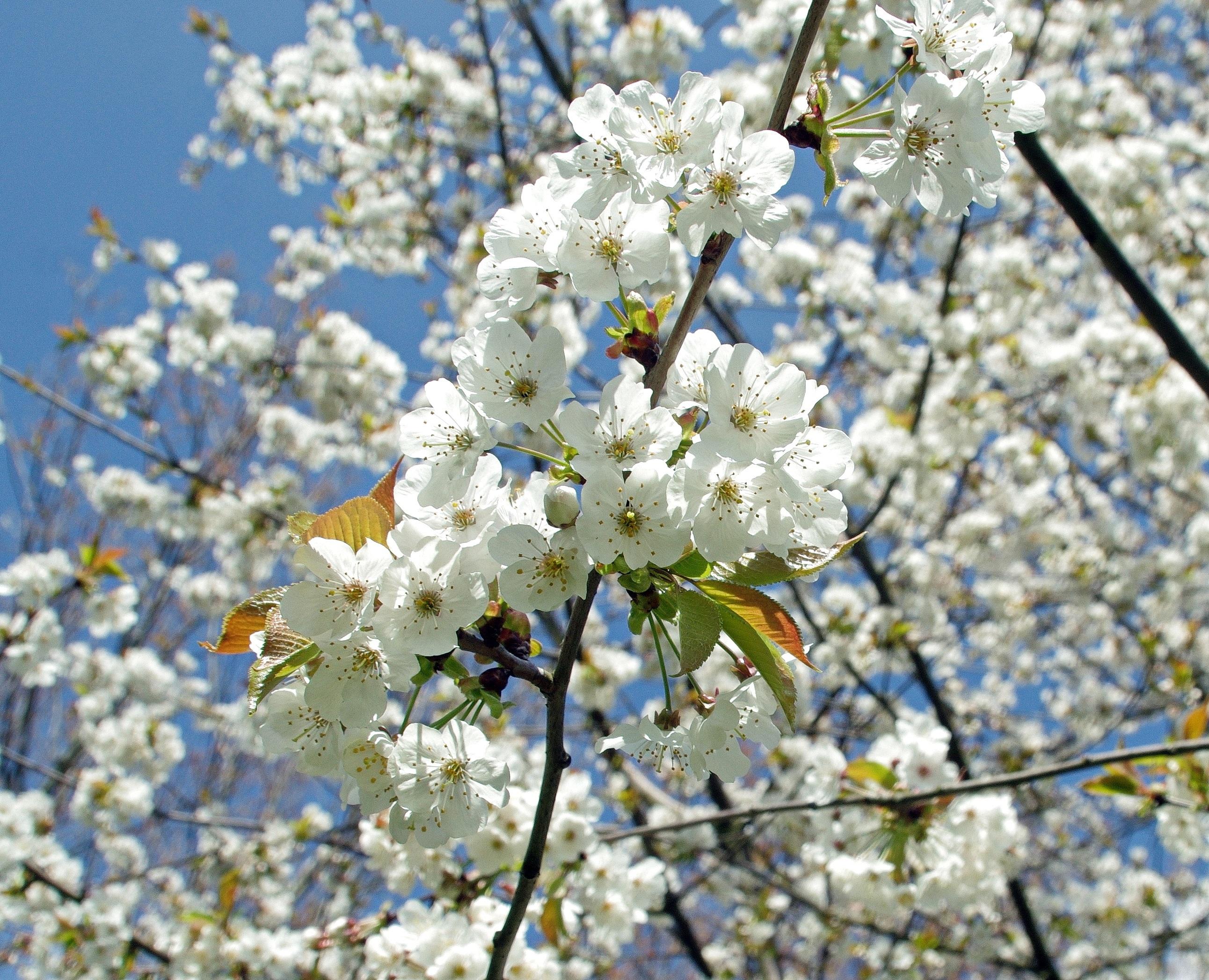 рабство весна вишня цветет фото образец красивого