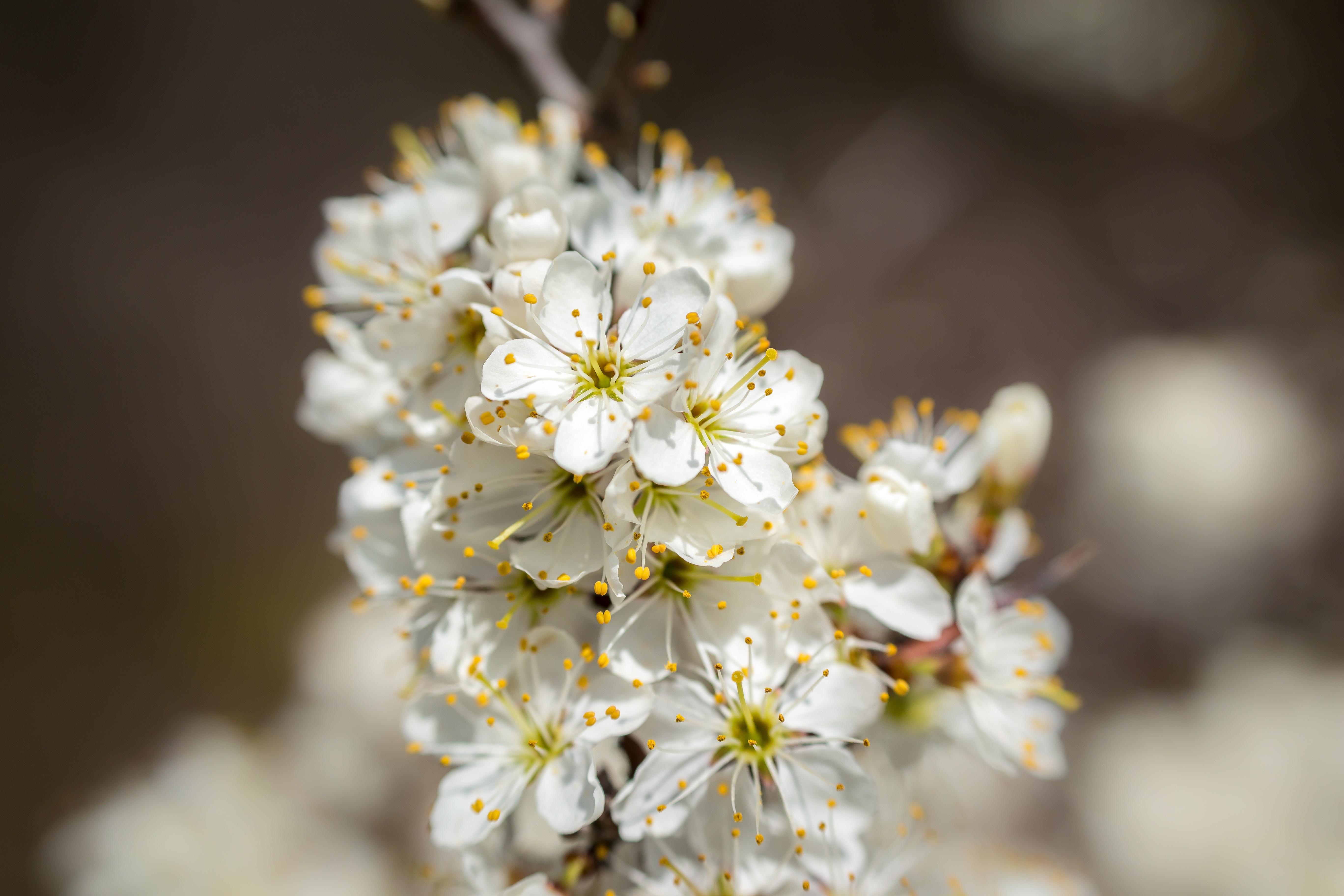 Free Images Branch White Fruit Sunlight Flower Petal Bloom