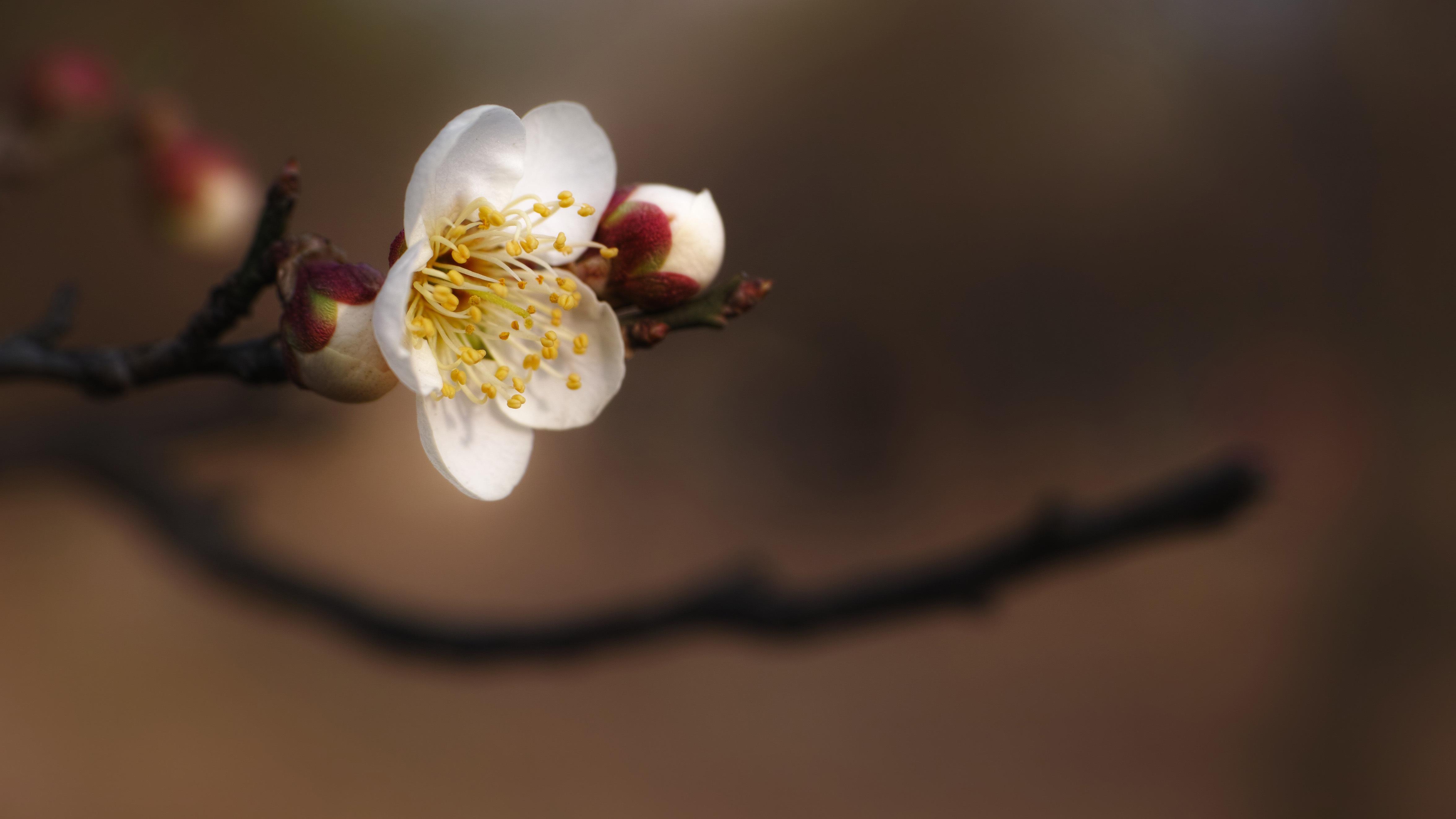 free images branch blossom plant white leaf flower petal