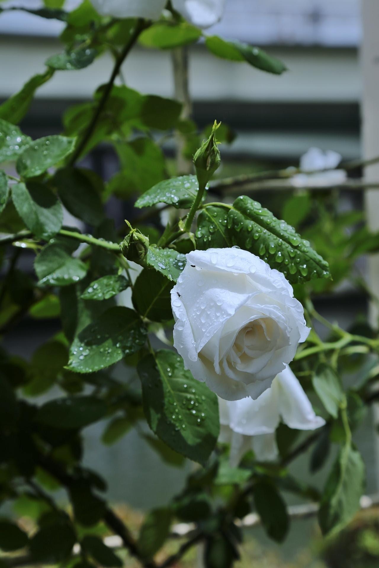 картинки дождь и белая роза дизайнеров продемонстрировали необычные
