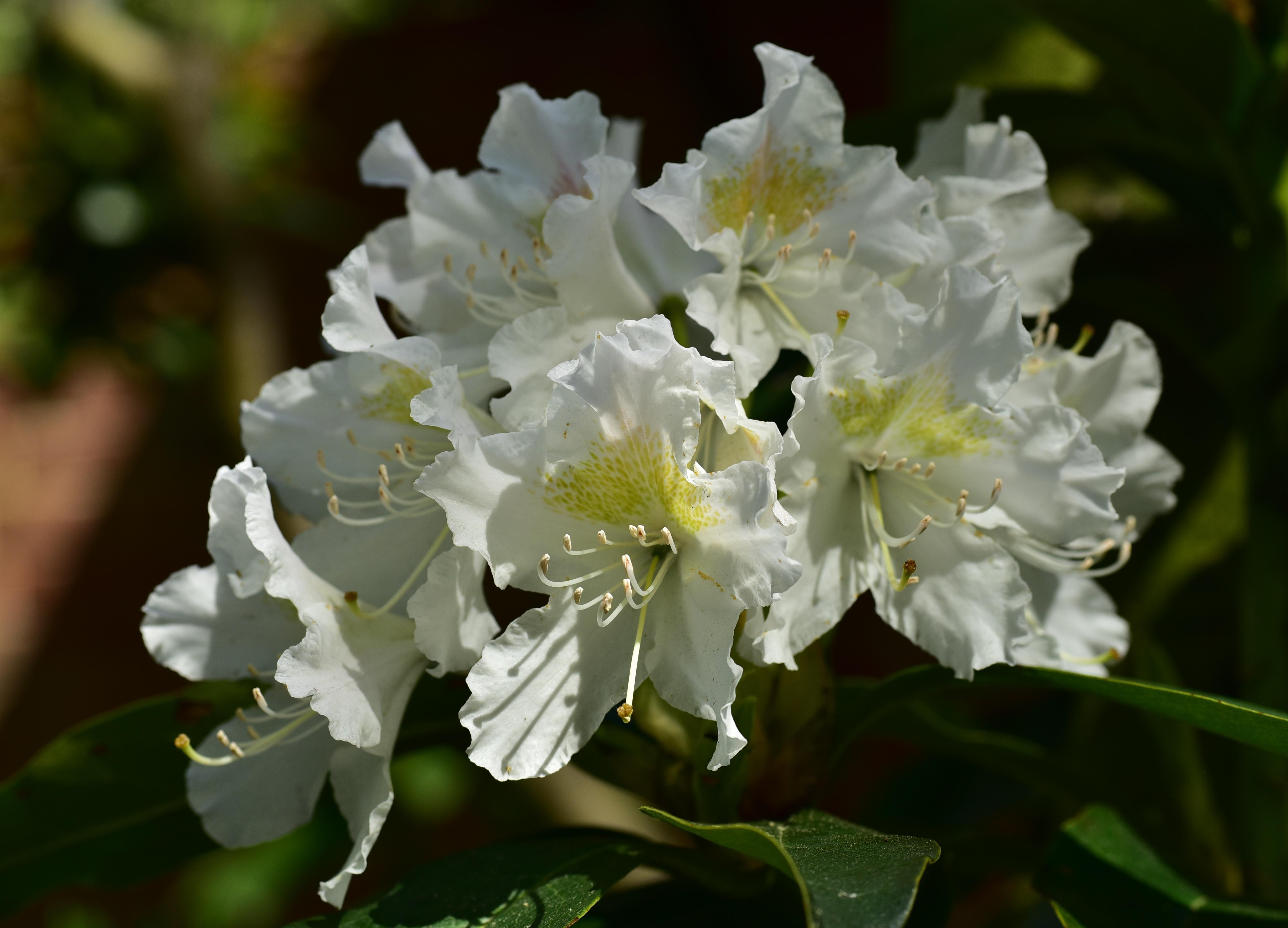Free Images Branch Blossom White Sweet Flower Bush Spring