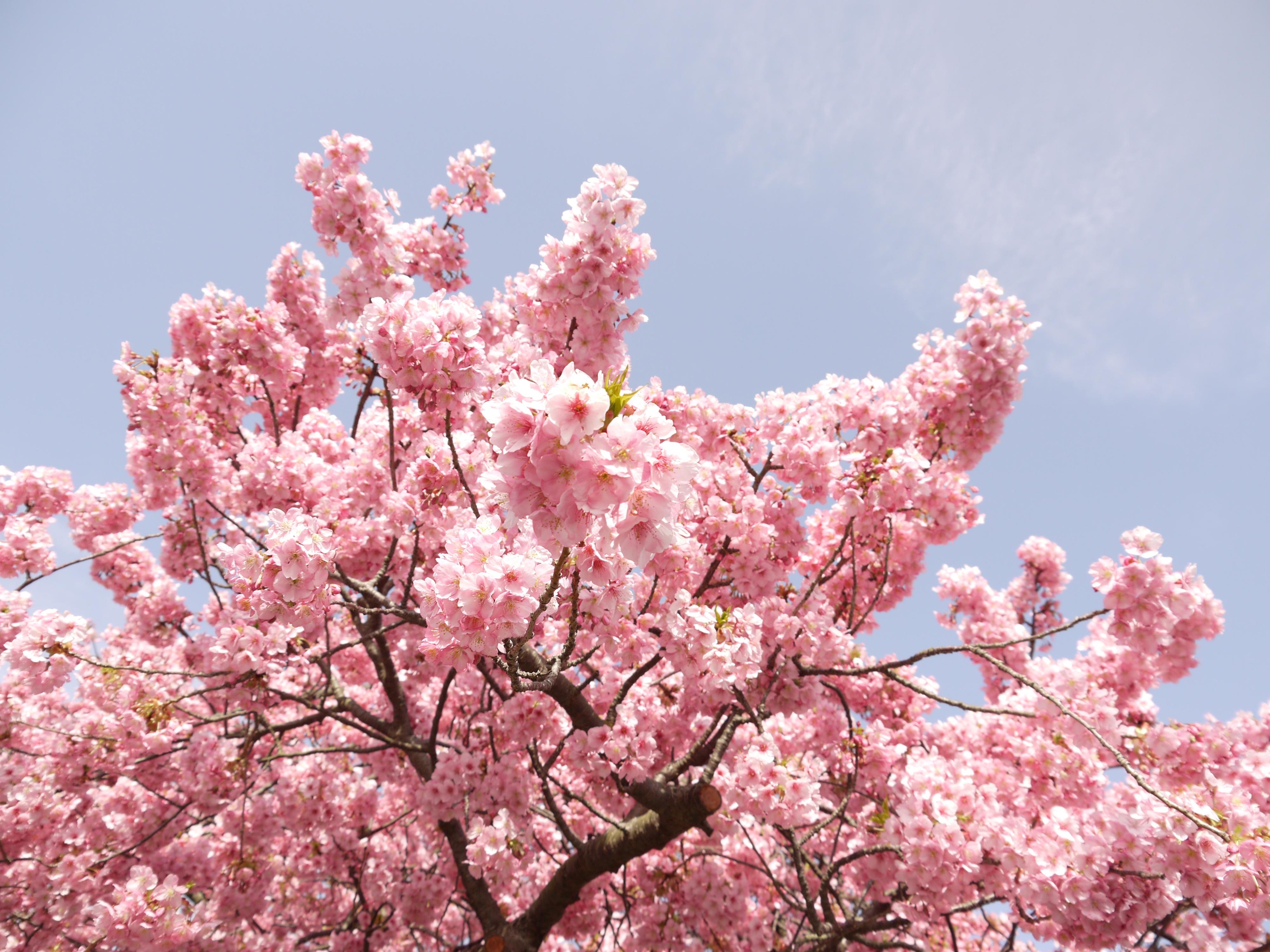 фото деревьев с розовыми цветами облака виде ячеек
