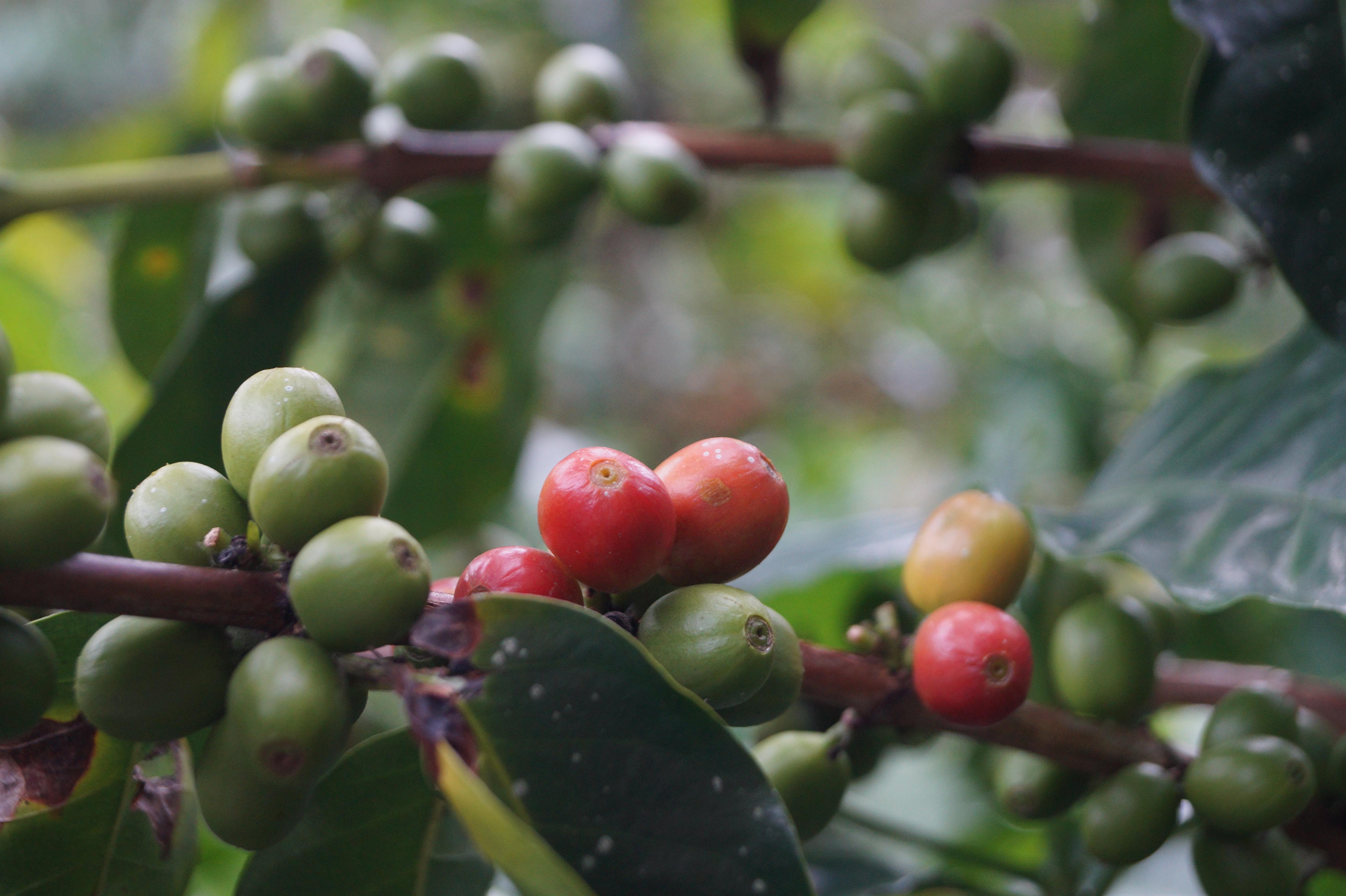 banco de imagens ramo plantar fruta flor gr o de caf comida produzir evergreen flora. Black Bedroom Furniture Sets. Home Design Ideas