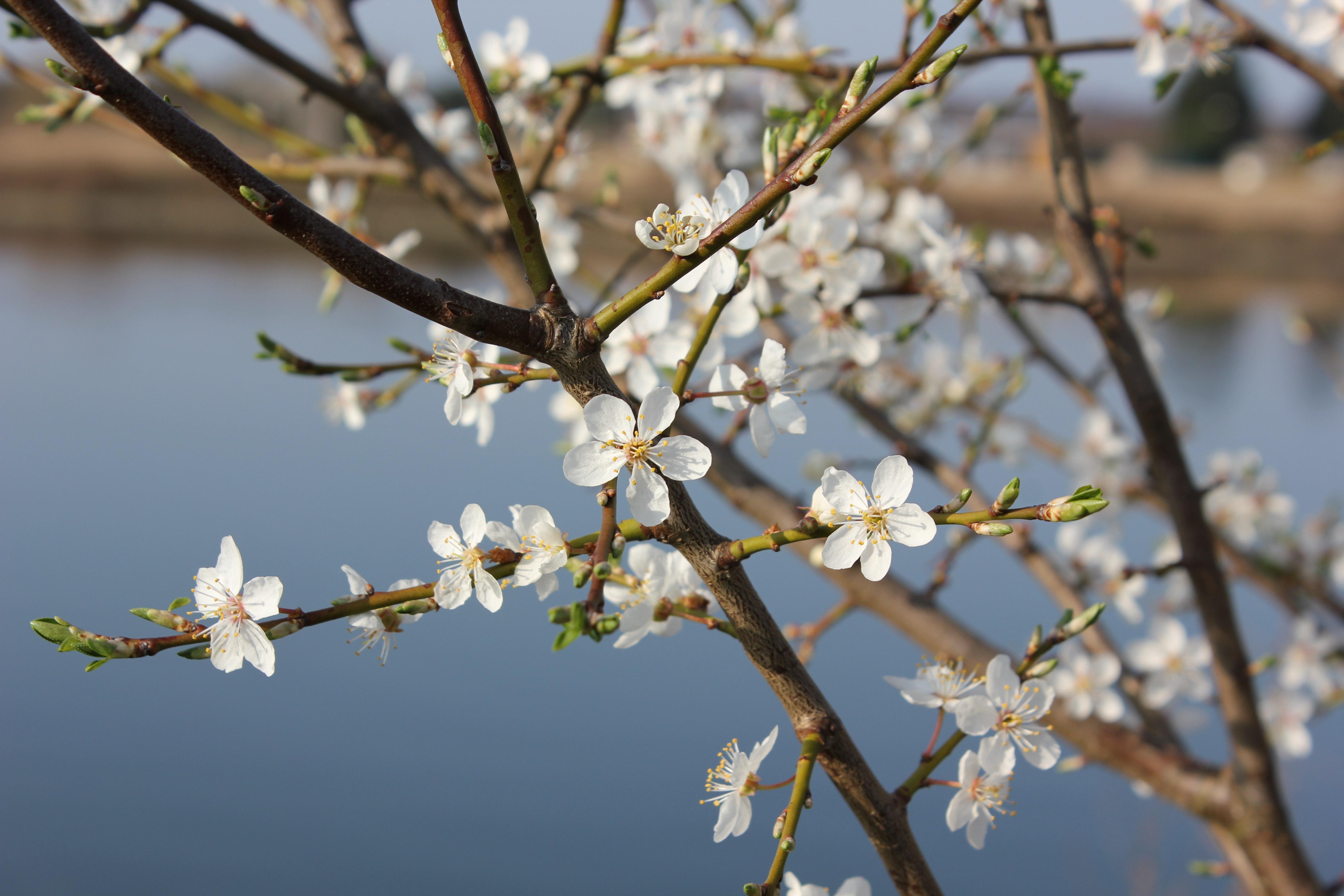 пятке фото цветущих веток вишни красивые бесплатные