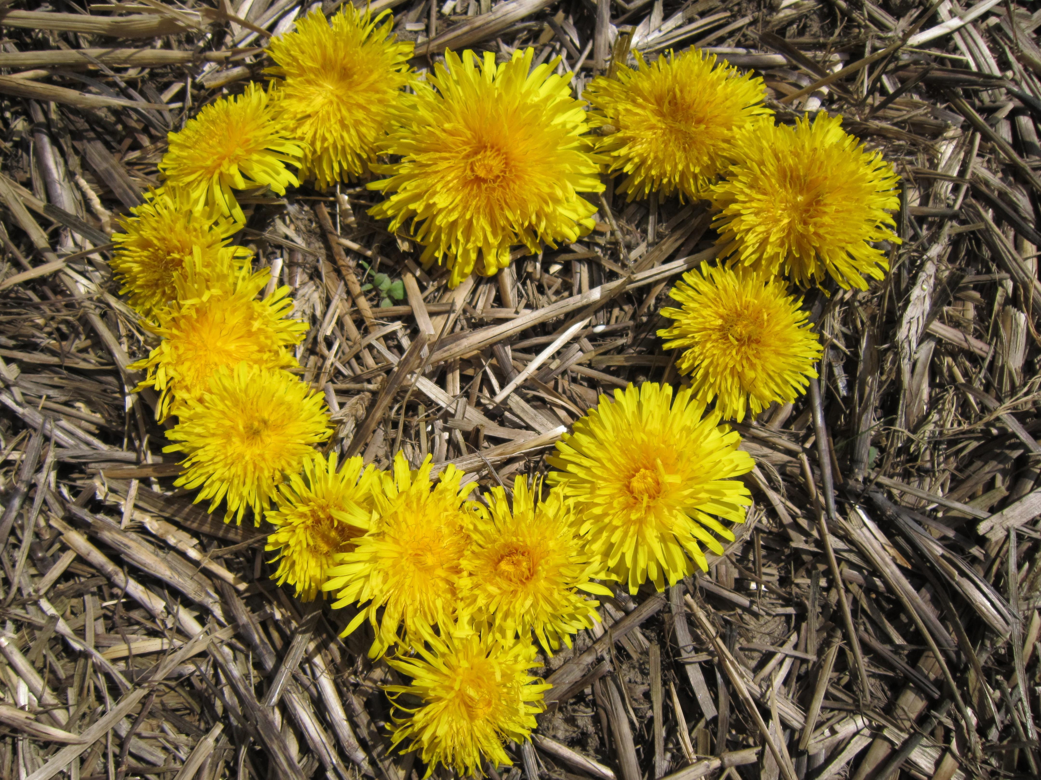 Free Images Branch Dandelion Leaf Love Rural Symbol Botany