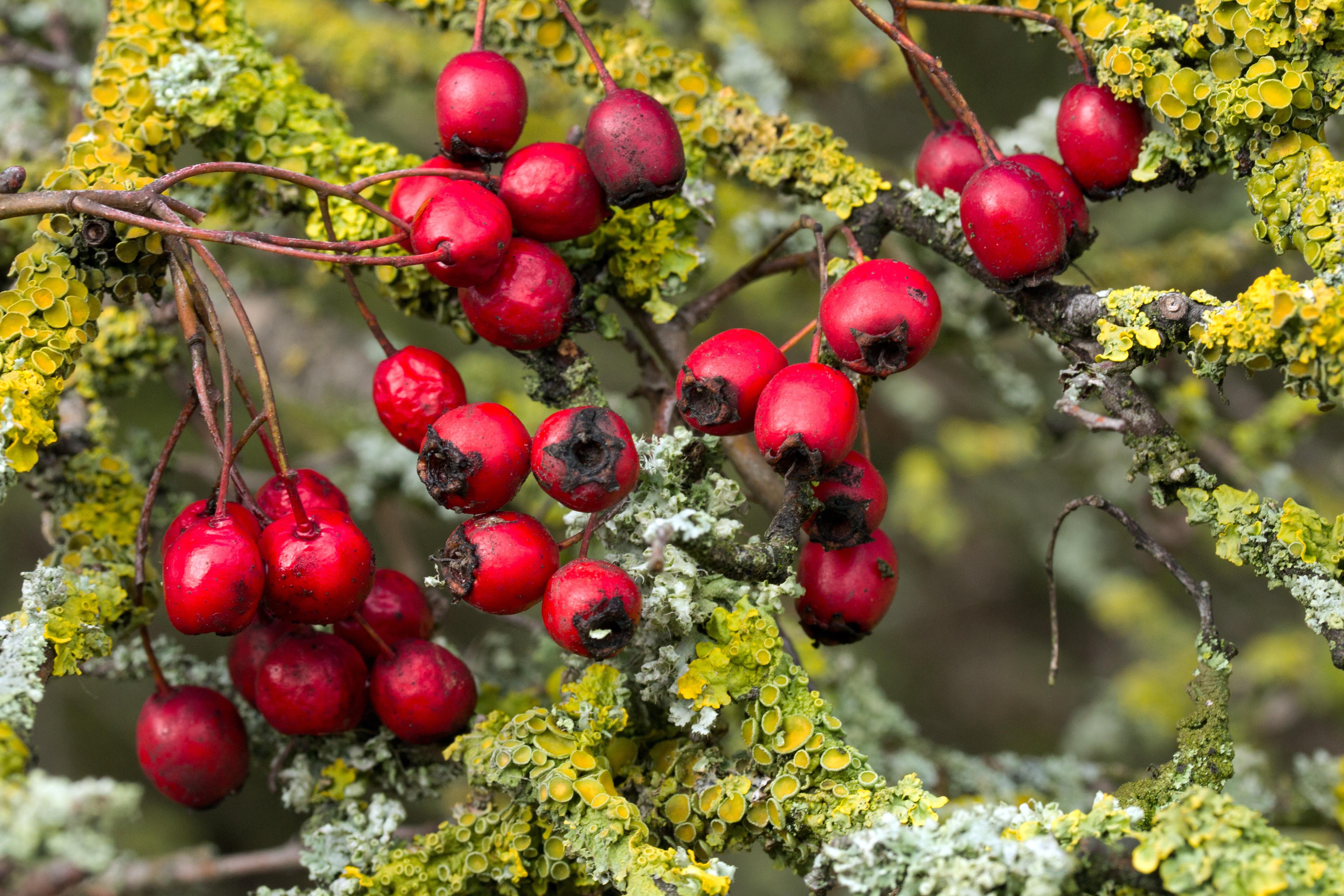 Arbuste A Boule Rouge Latest Aubpine Crataegus Laevigata Arbuste Du
