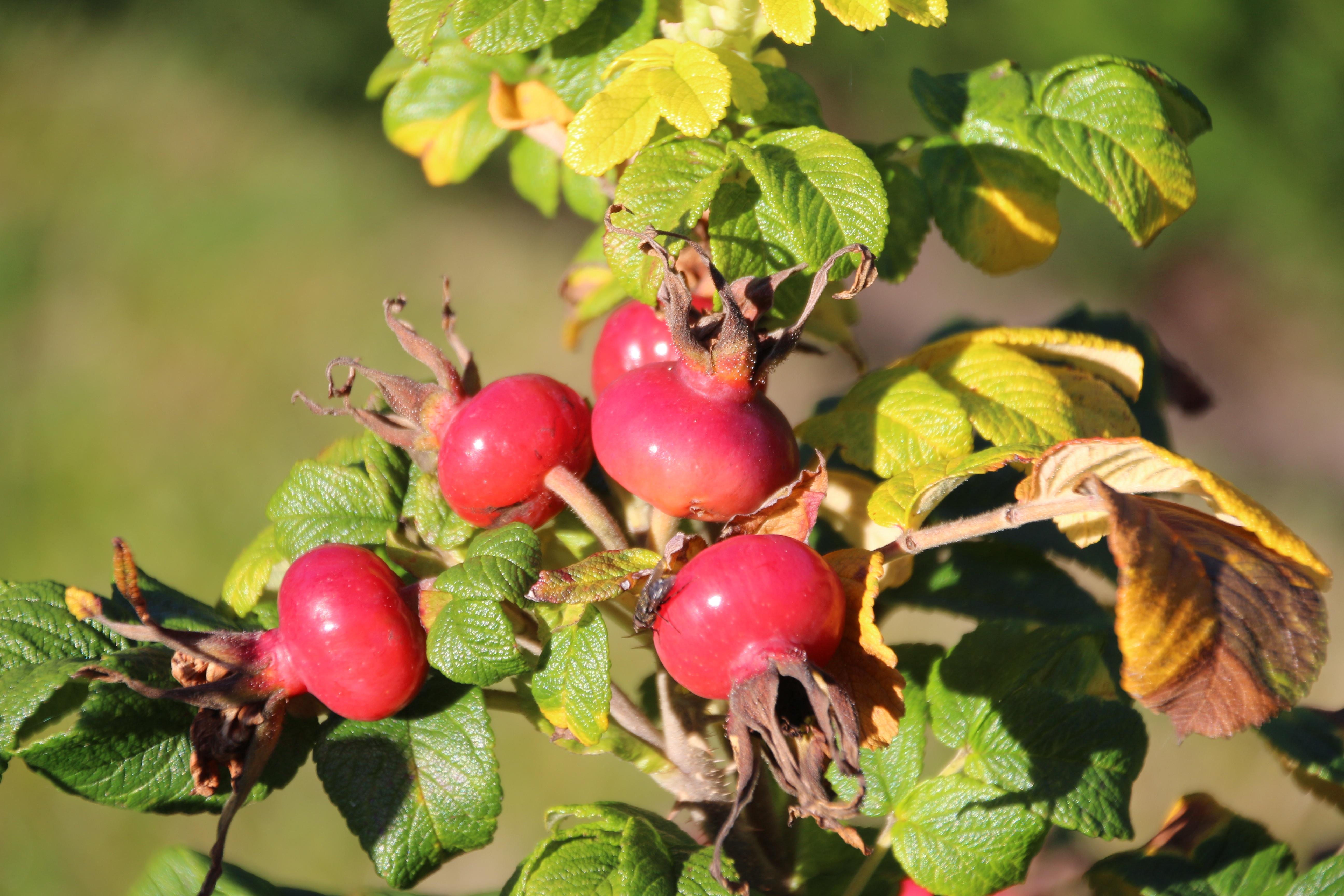 Images gratuites branche fruit baie fleur aliments rouge produire l 39 automne arbuste - Images d automne gratuites ...