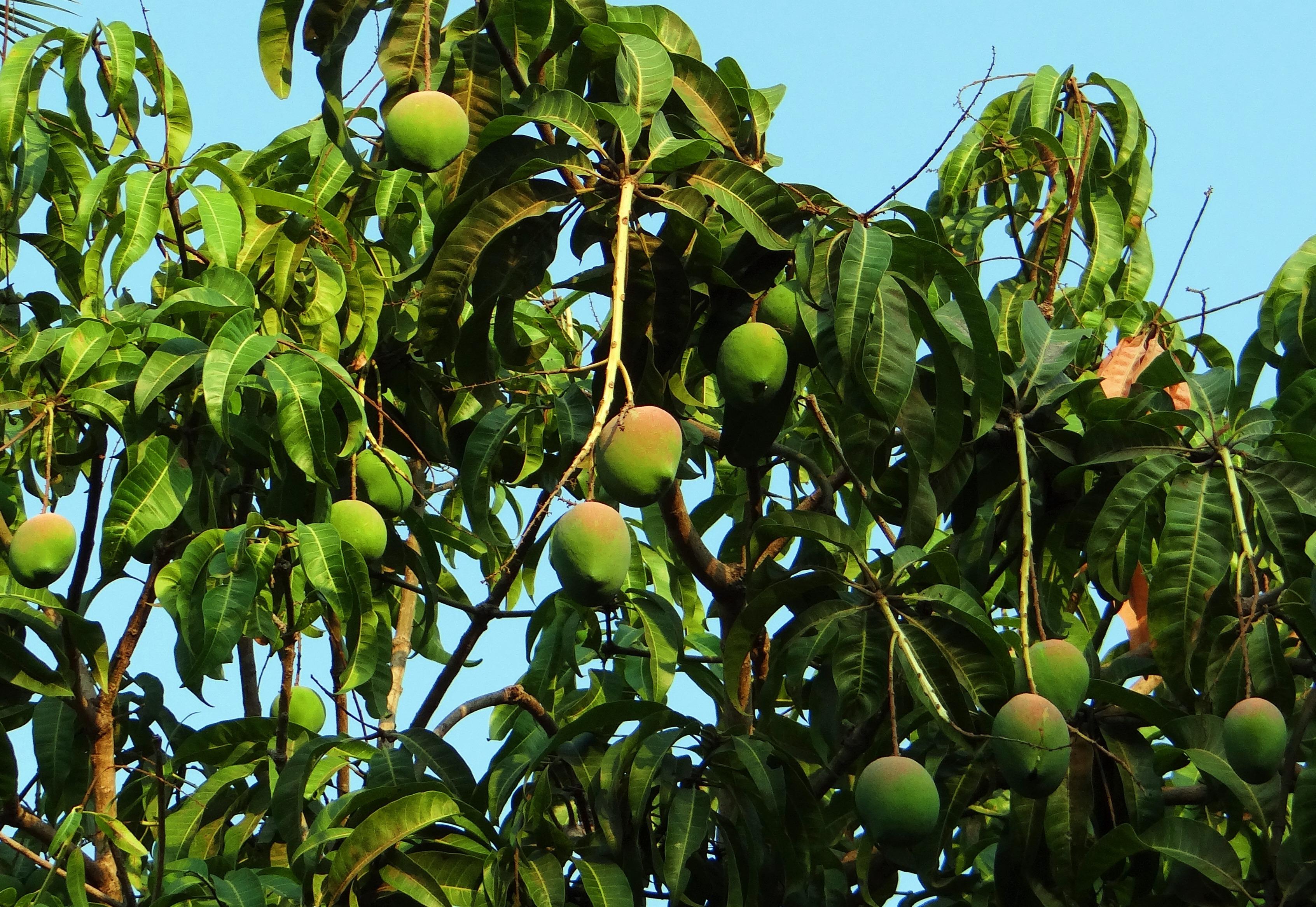 Манго дерево фото