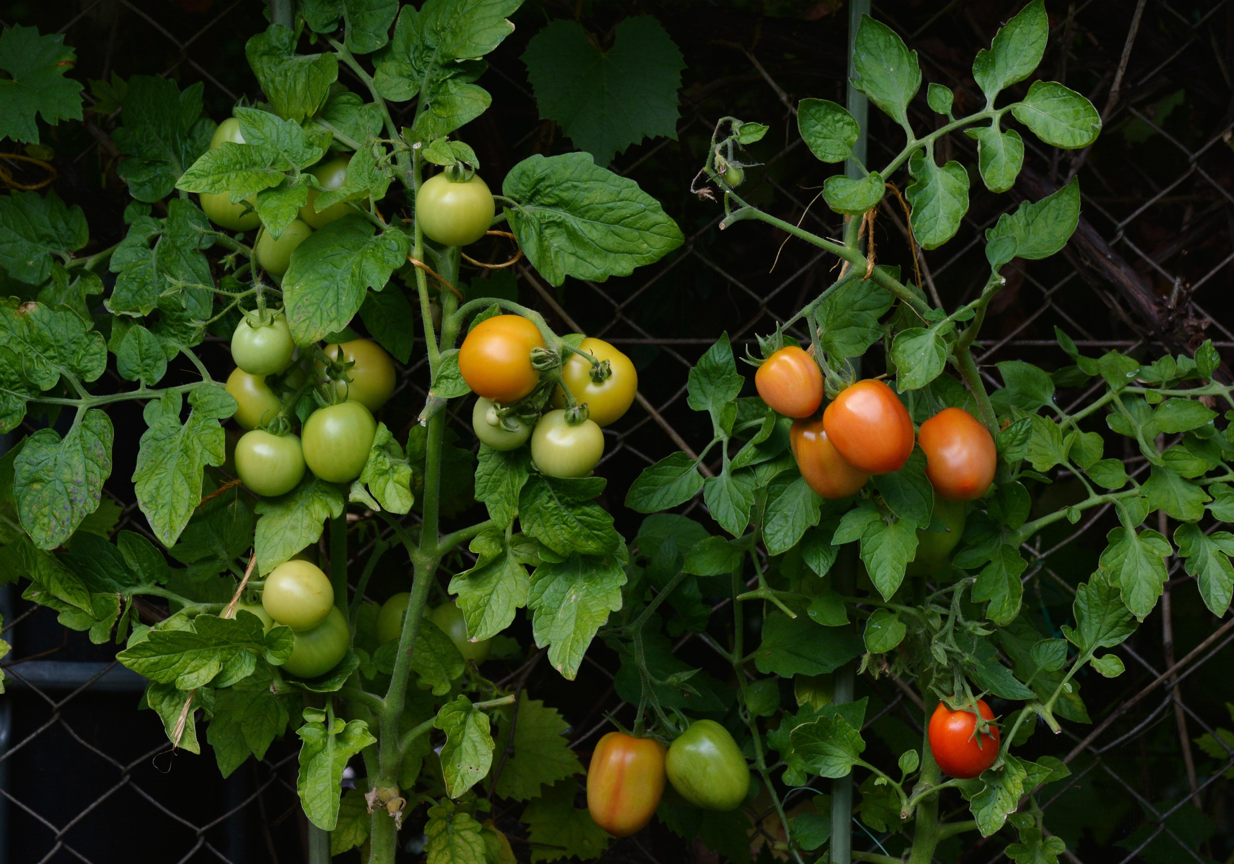 Fotos Gratis Rama Fruta Flor Comida Produce Vegetal Jard N  ~ Como Cultivar Tomates En El Huerto
