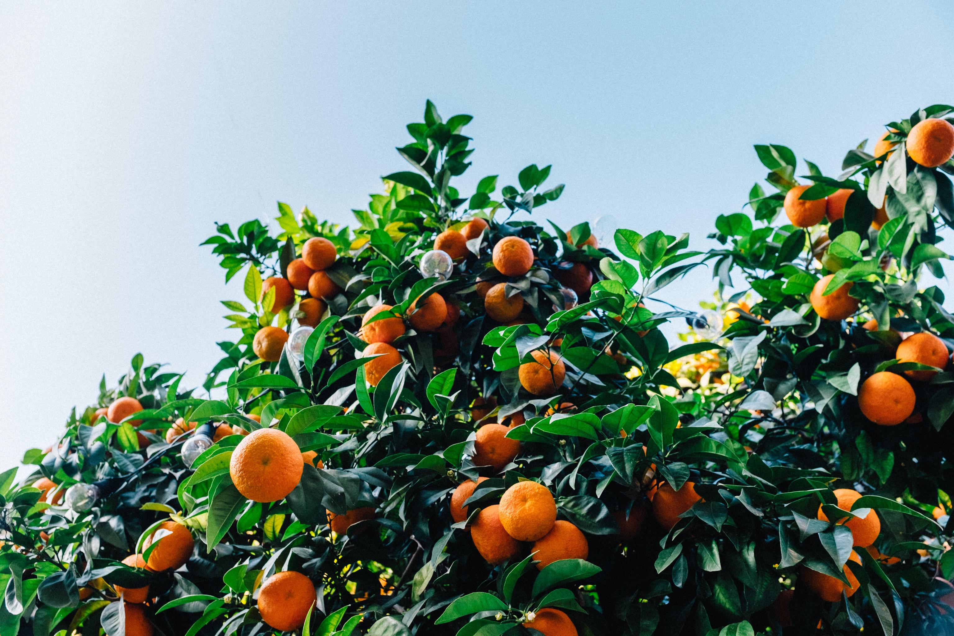 белье фрукты растут на деревьях картинки татуировки стиле майя