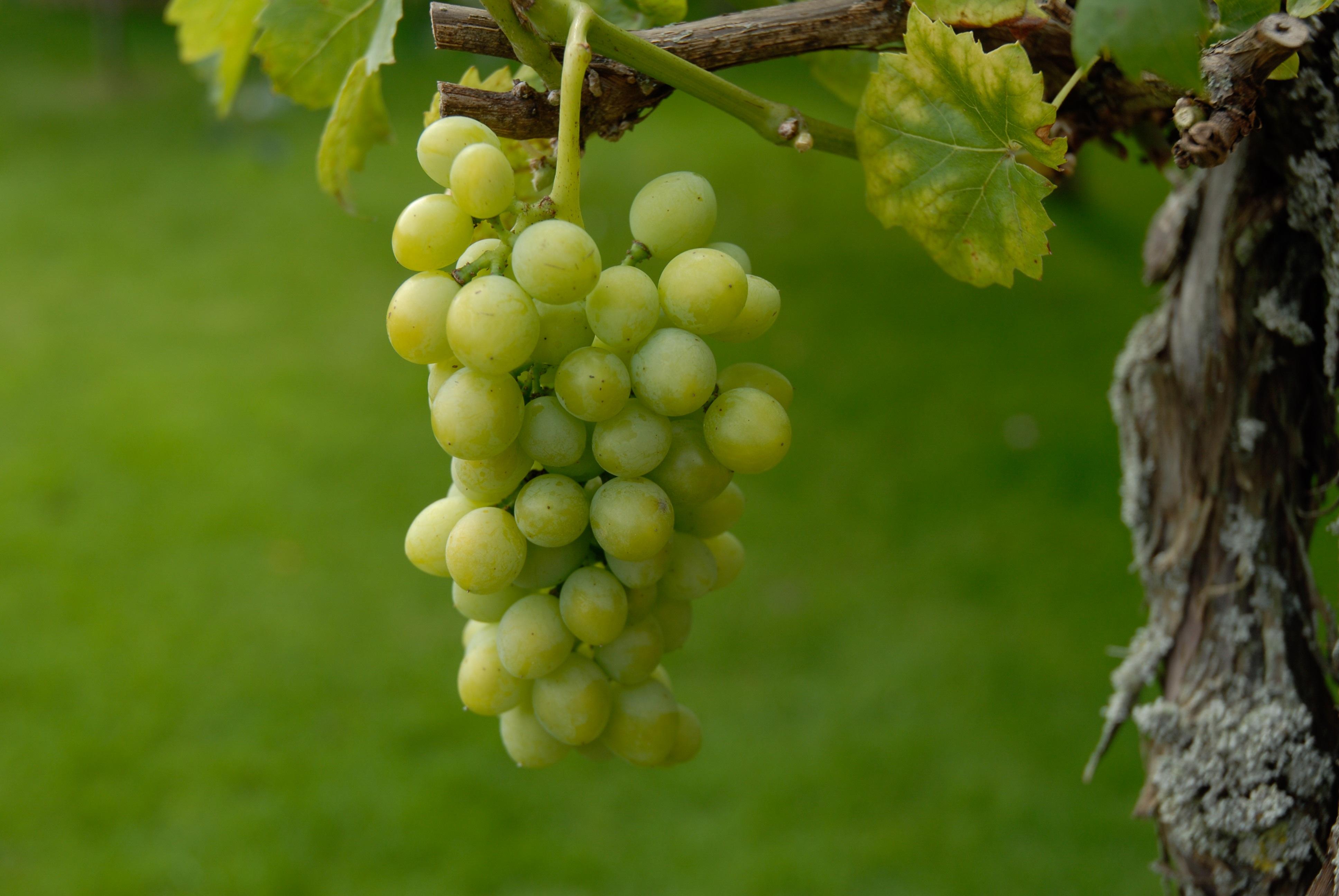 картинки зеленого винограда