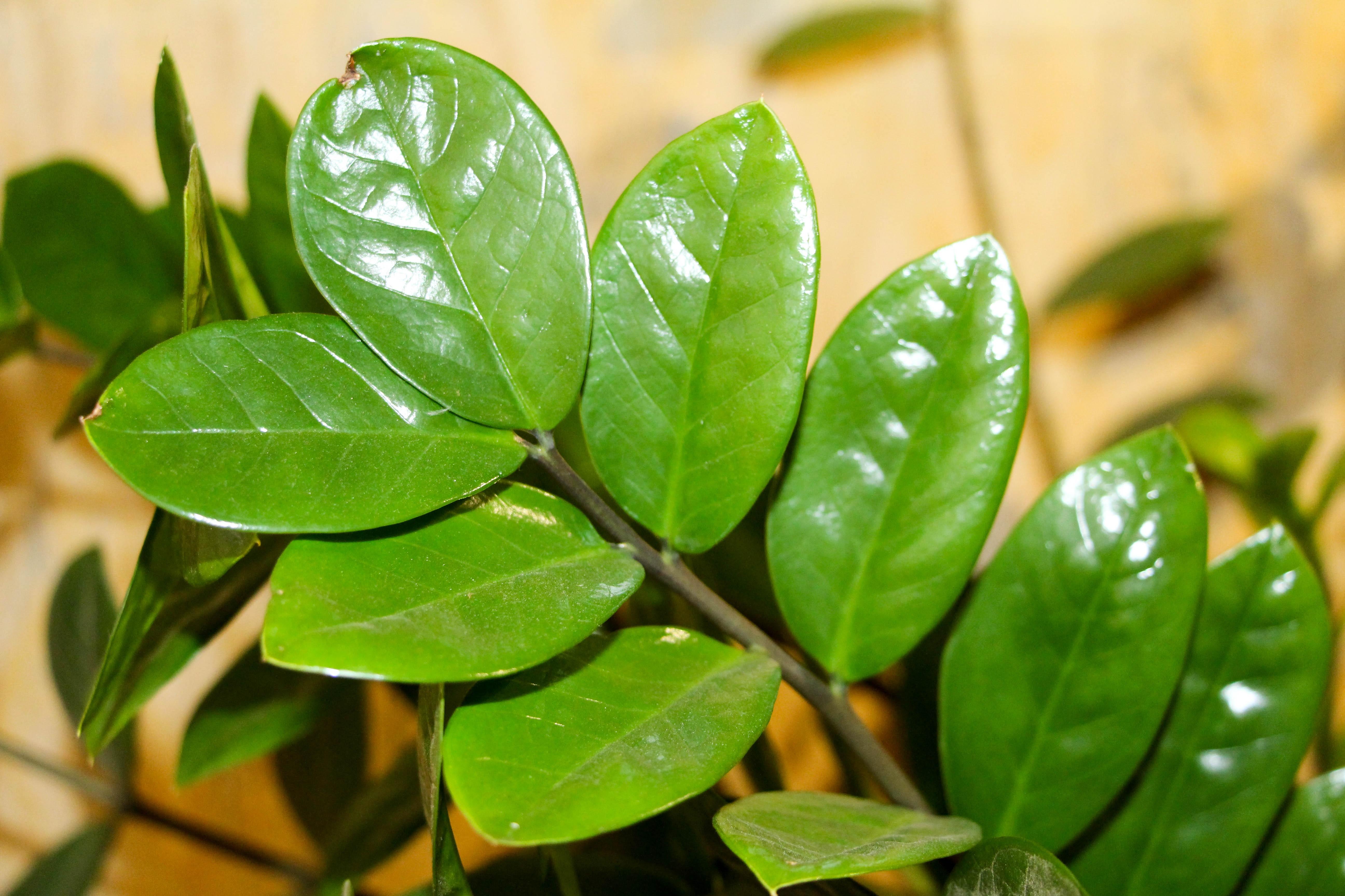 images gratuites branche feuille fleur aliments vert produire feuilles persistantes. Black Bedroom Furniture Sets. Home Design Ideas