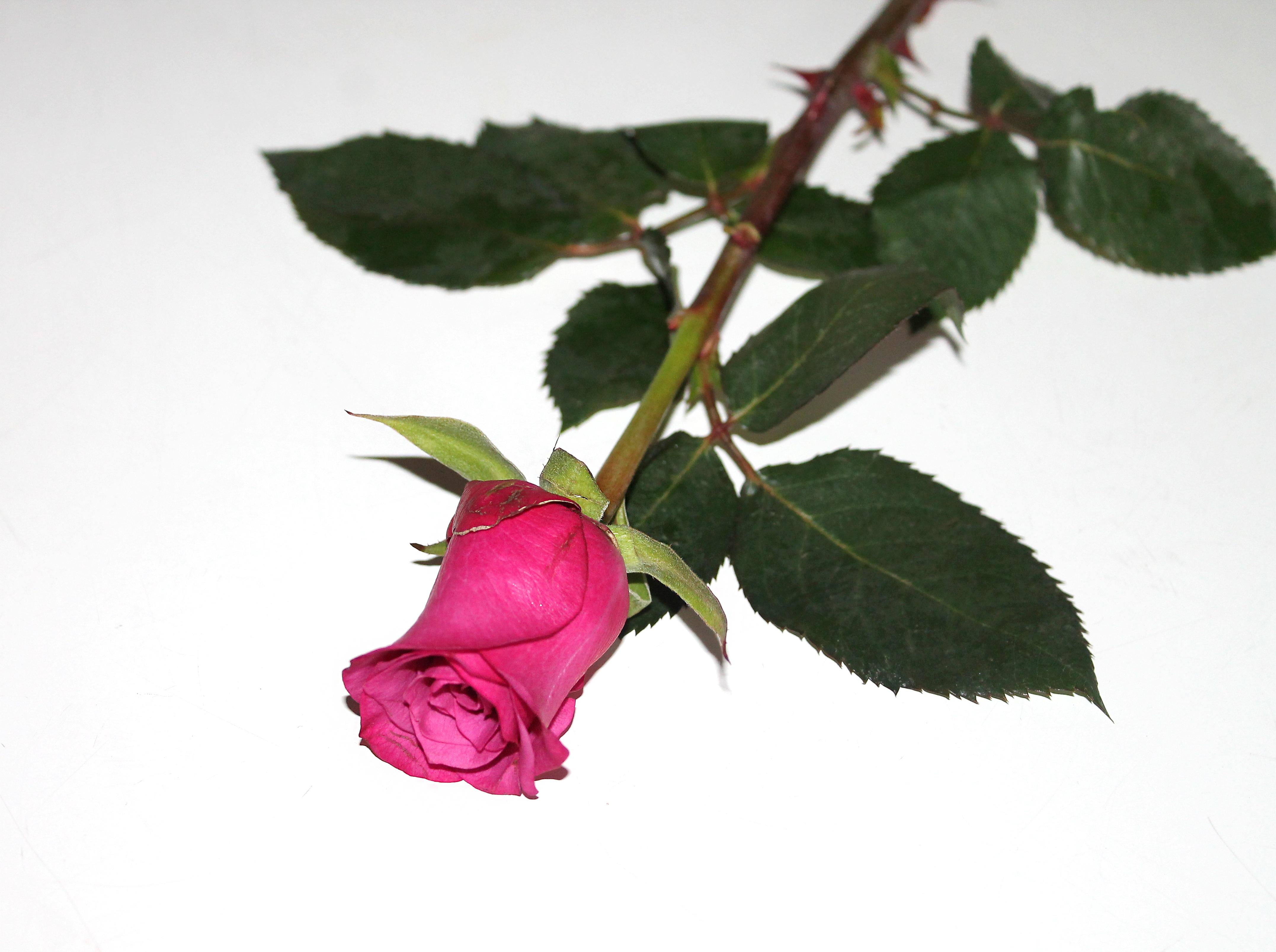 Kostenlose foto : Ast, Blatt, Blütenblatt, Liebe, Lebensmittel ...