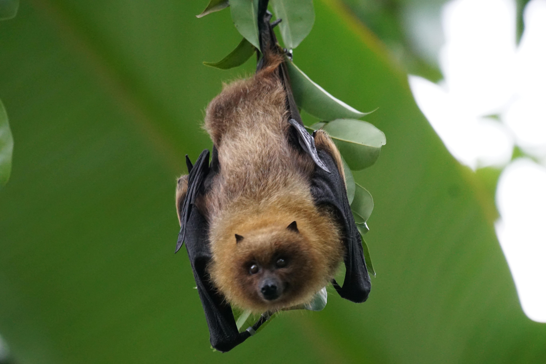 Chien Volant images gratuites : branche, faune, mammifère, fermer, animaux, forêt