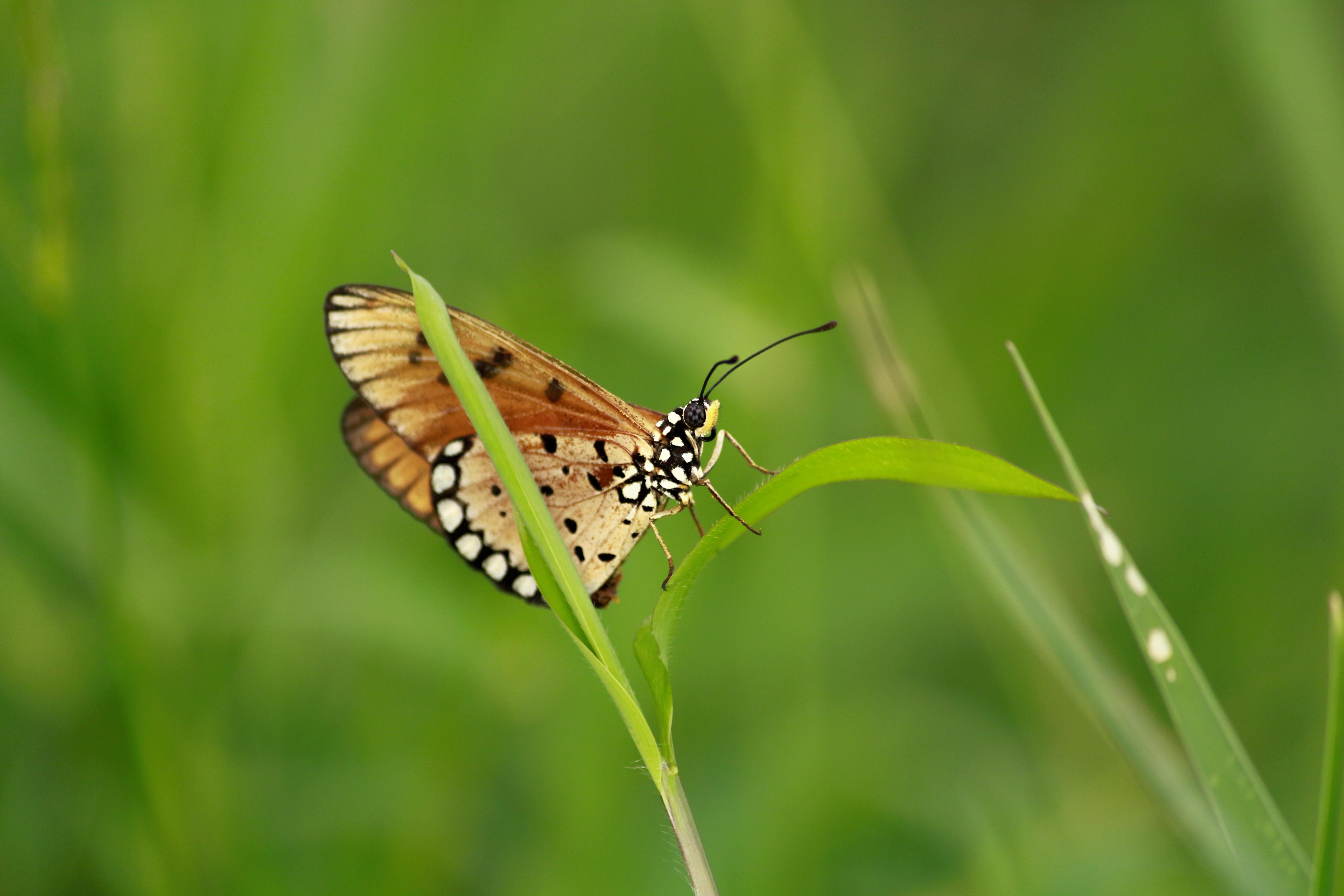 Kostenlose foto : Tawny, Acraea, Tierwelt, wild, Insekt, Natur ...