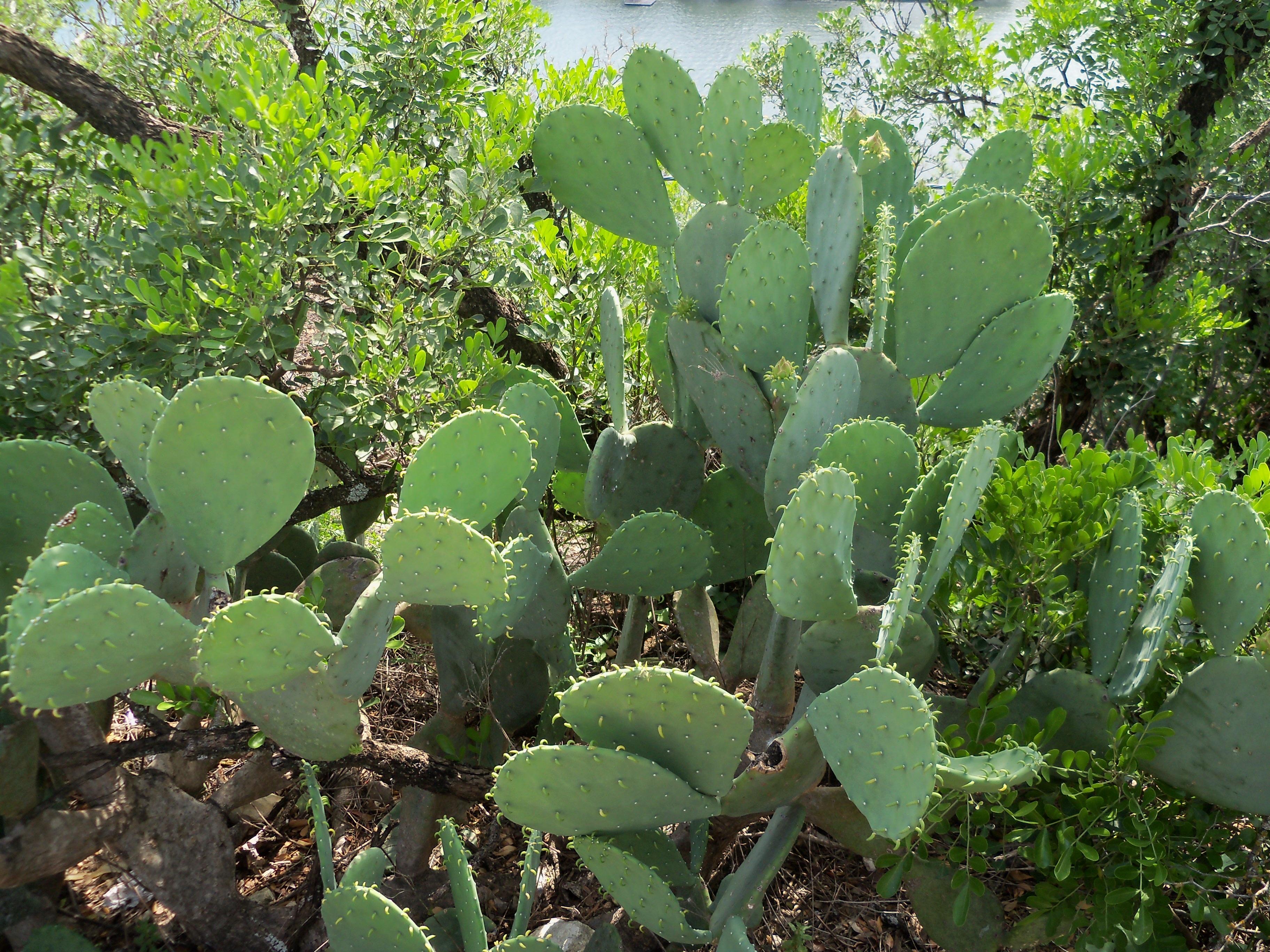 images gratuites cactus d sert fleur aliments produire l gume botanique les pines. Black Bedroom Furniture Sets. Home Design Ideas