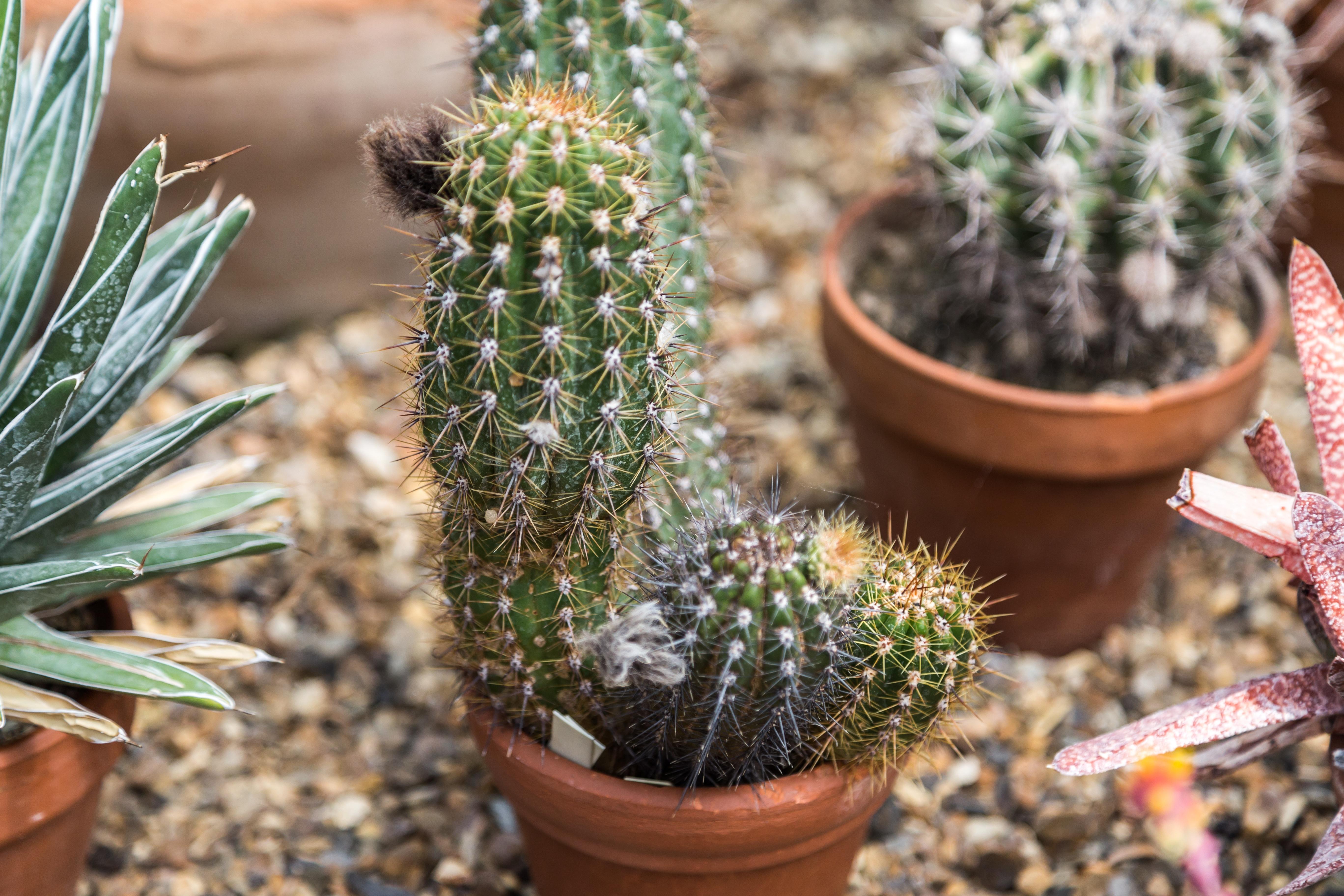 Виды кактусов с картинками и их описание