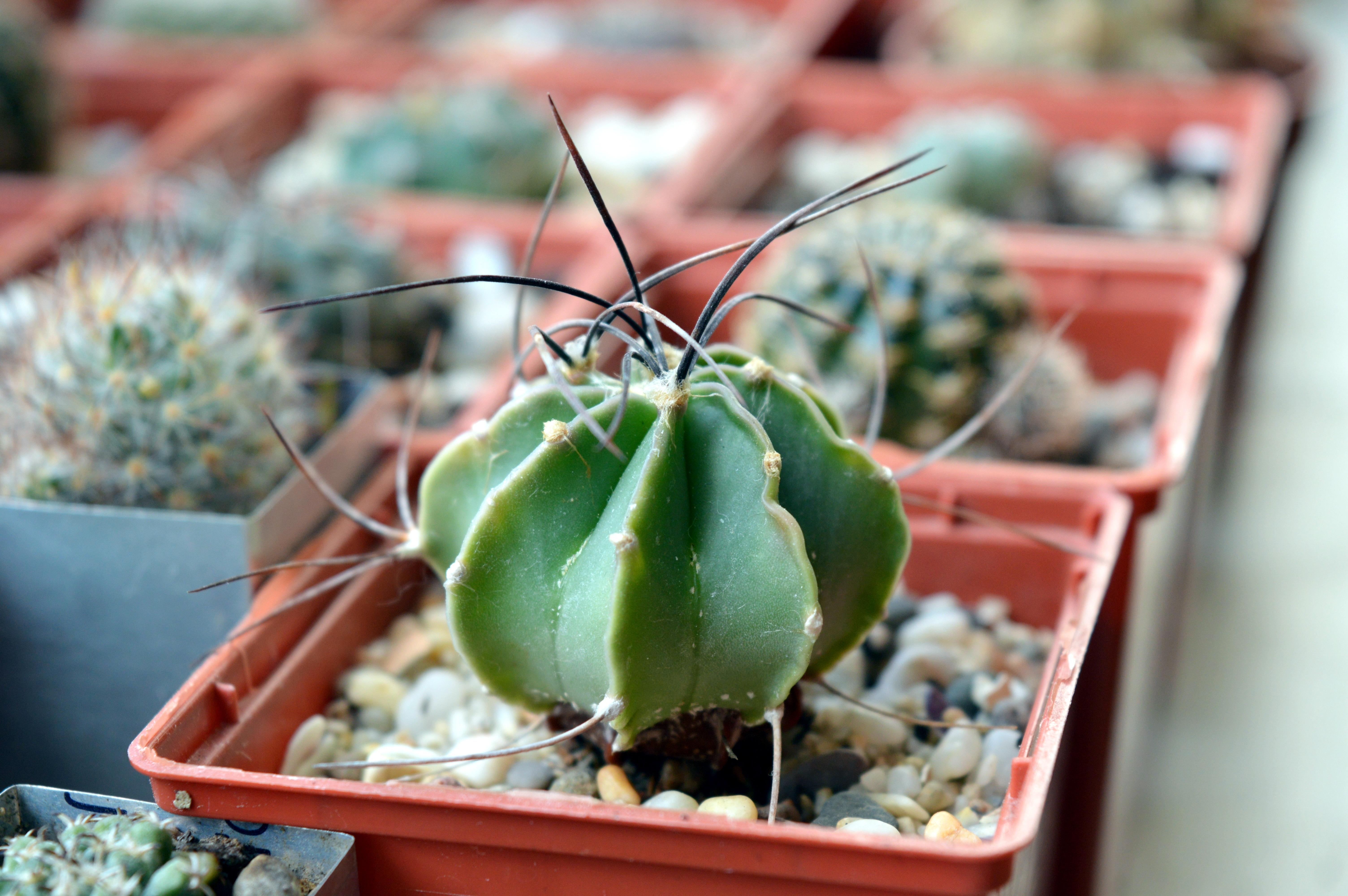 images gratuites cactus fleur aliments vert. Black Bedroom Furniture Sets. Home Design Ideas