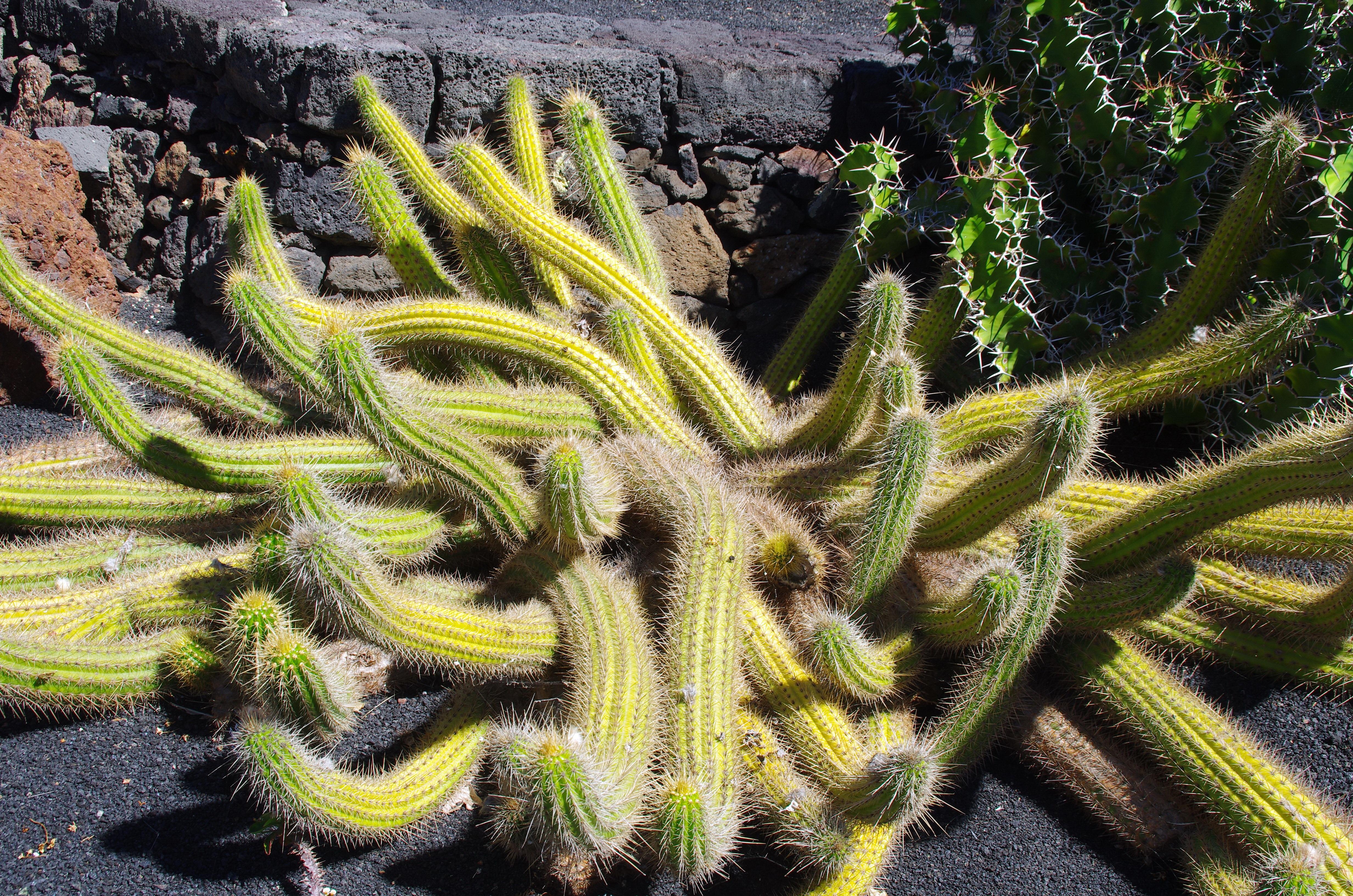 plante exotique cactus