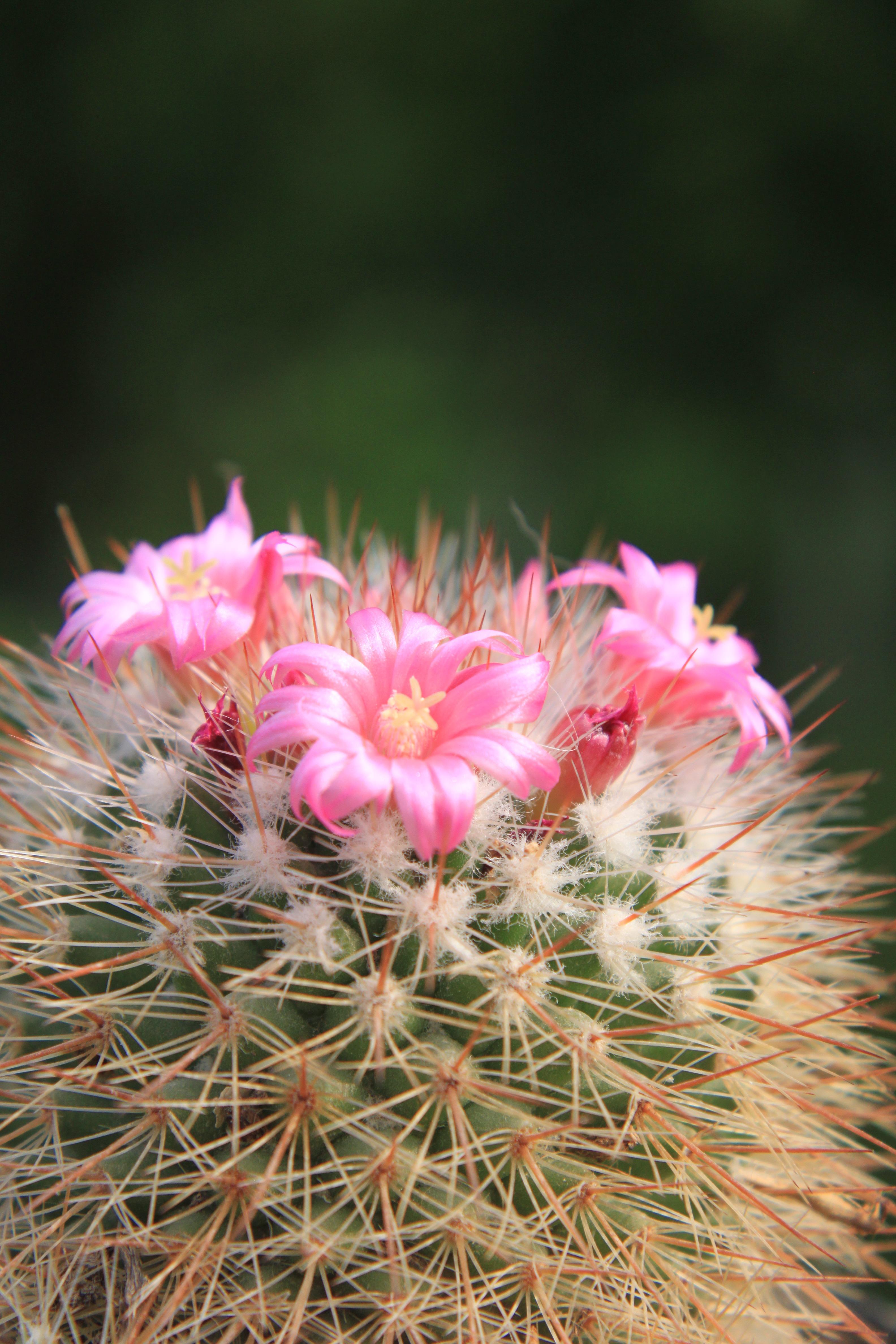 Free Images Flower Petal Small Botany Pink Cacti Flora