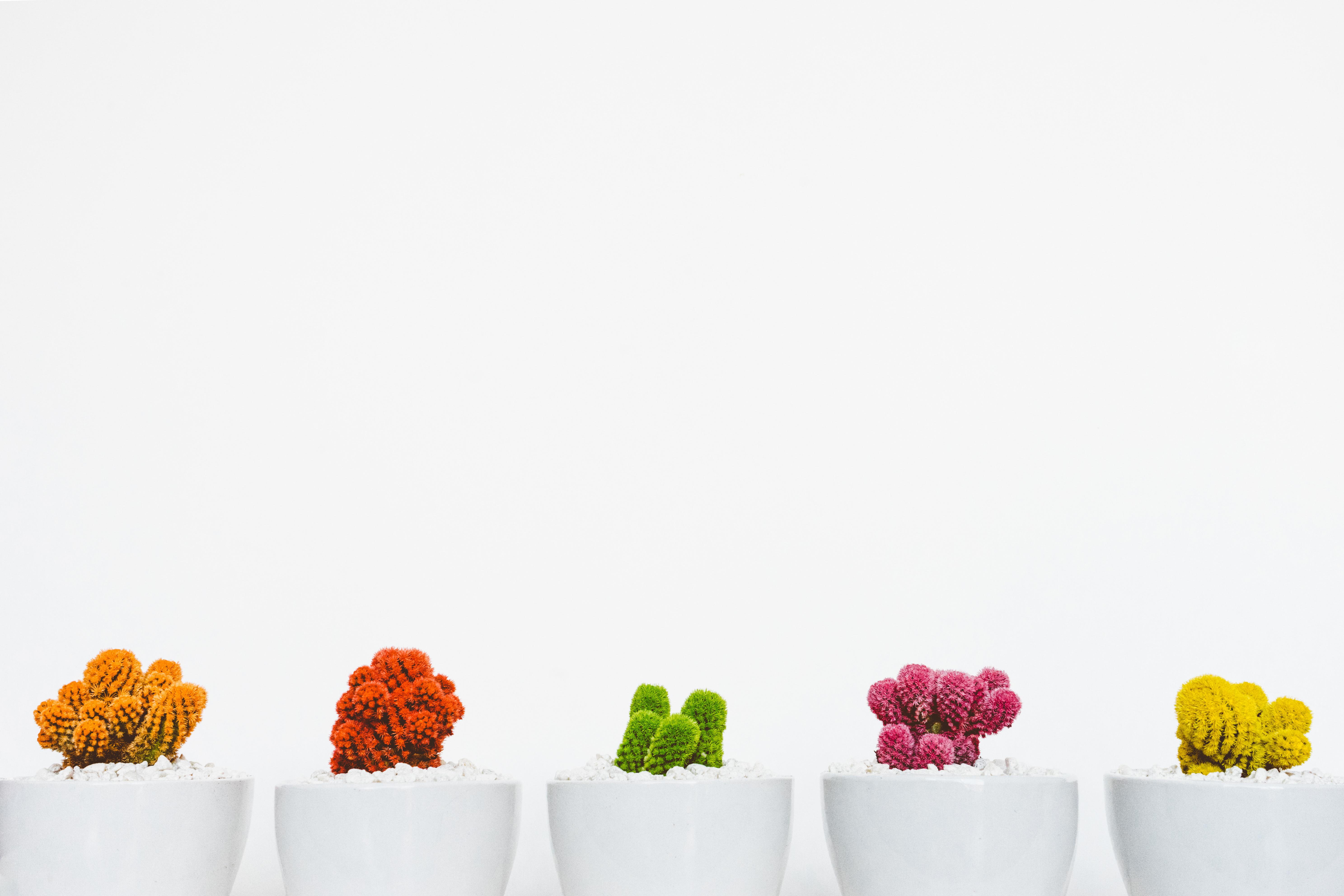 Gambar Kaktus Menanam Daun Bunga Pola Warna Kuning Pot