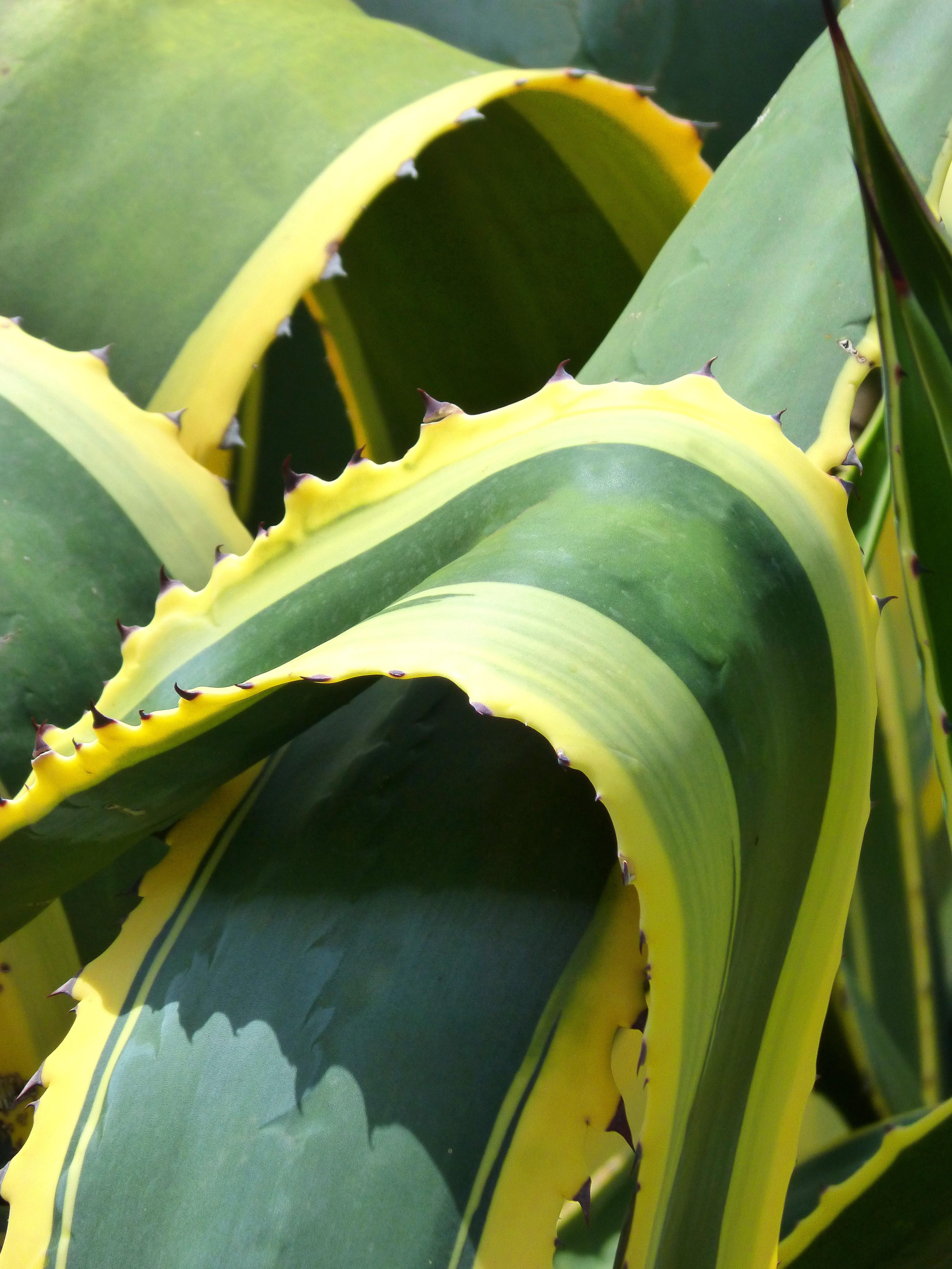 Image Plante Aloe Vera gambar : kaktus, menanam, tekstur, daun, bunga, hijau