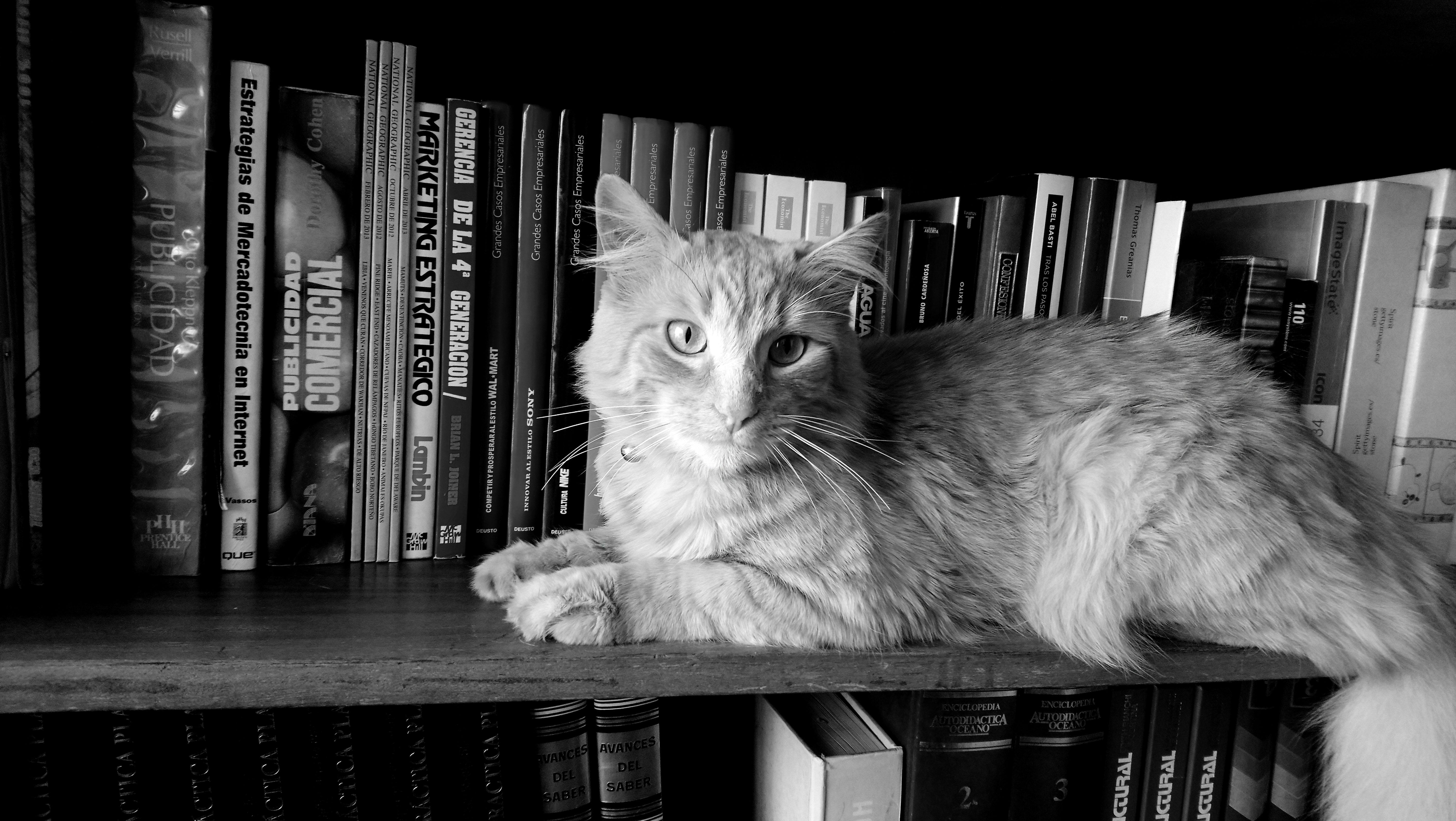 4e1d329da3e8 Γάτα βιβλία μαύρος μαύρο και άσπρο θηλαστικό ζώο μικρού και μεσαίου  μεγέθους γάτες σπονδυλωτό φαβορίτα μονόχρωμη