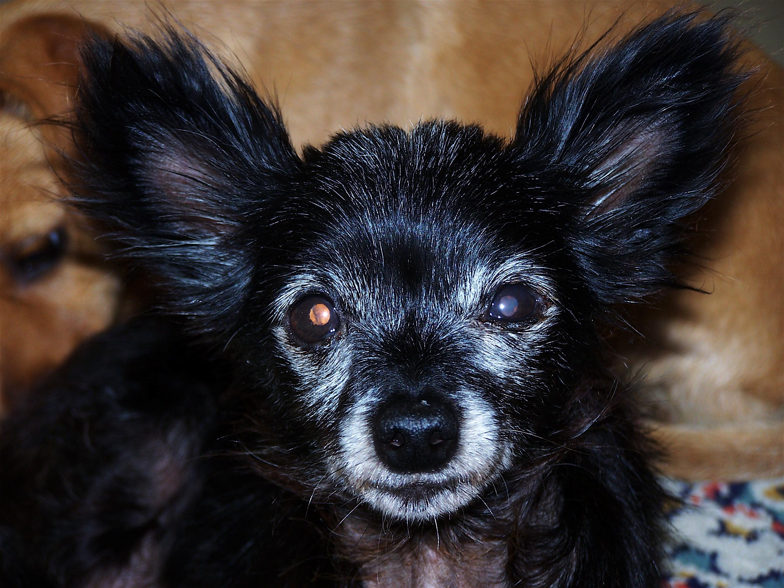 Uzun kulakları olan uzun bir köpek - bu cins nedir