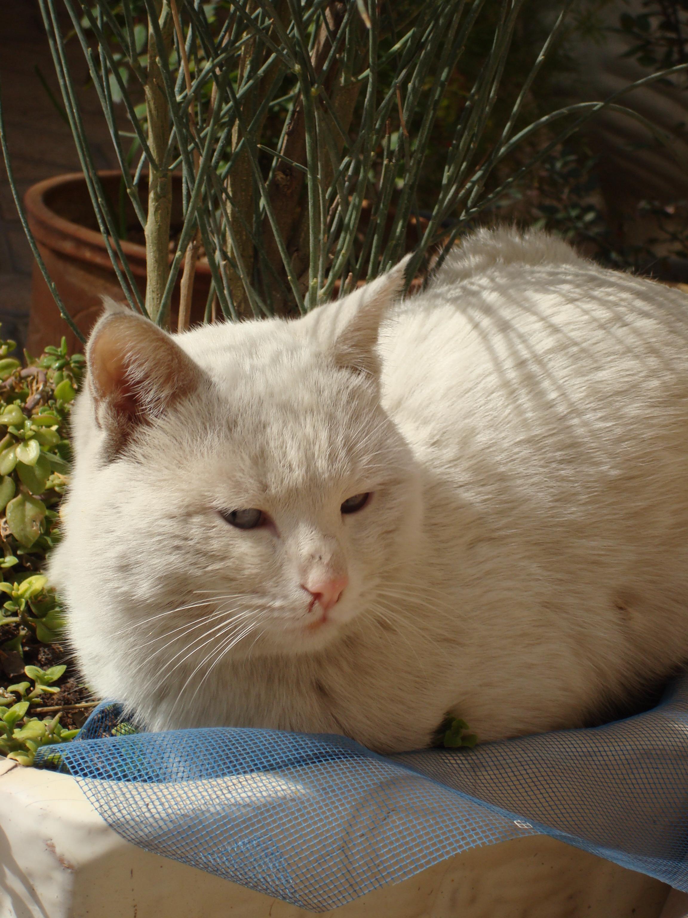 3549a87697b70a katt pott polisonger fauna små till medelstora katter katt som däggdjur öga  inhemsk korthårig katt tryne