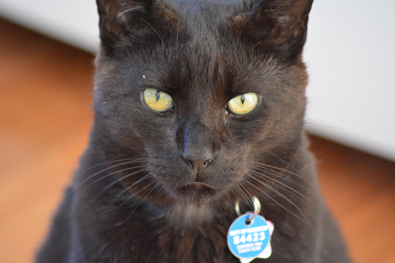 Free black cat fauna nose whiskers vertebrate ay