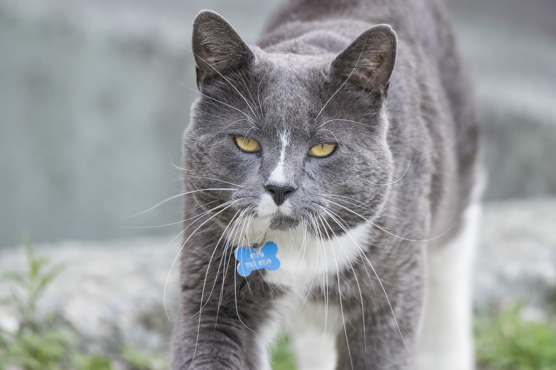 c80730c93c629 Katze Säugetier Fauna Whiskers Kanada Wirbeltier Chat Quebec Sherbrooke  Europäisches Kurzhaar Chartreux wilde Katze Kleine bis