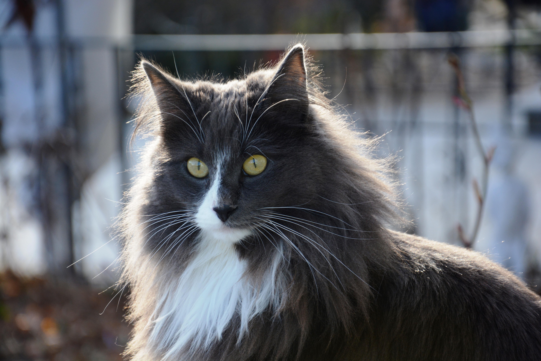 Норвежский лесной кот картинки
