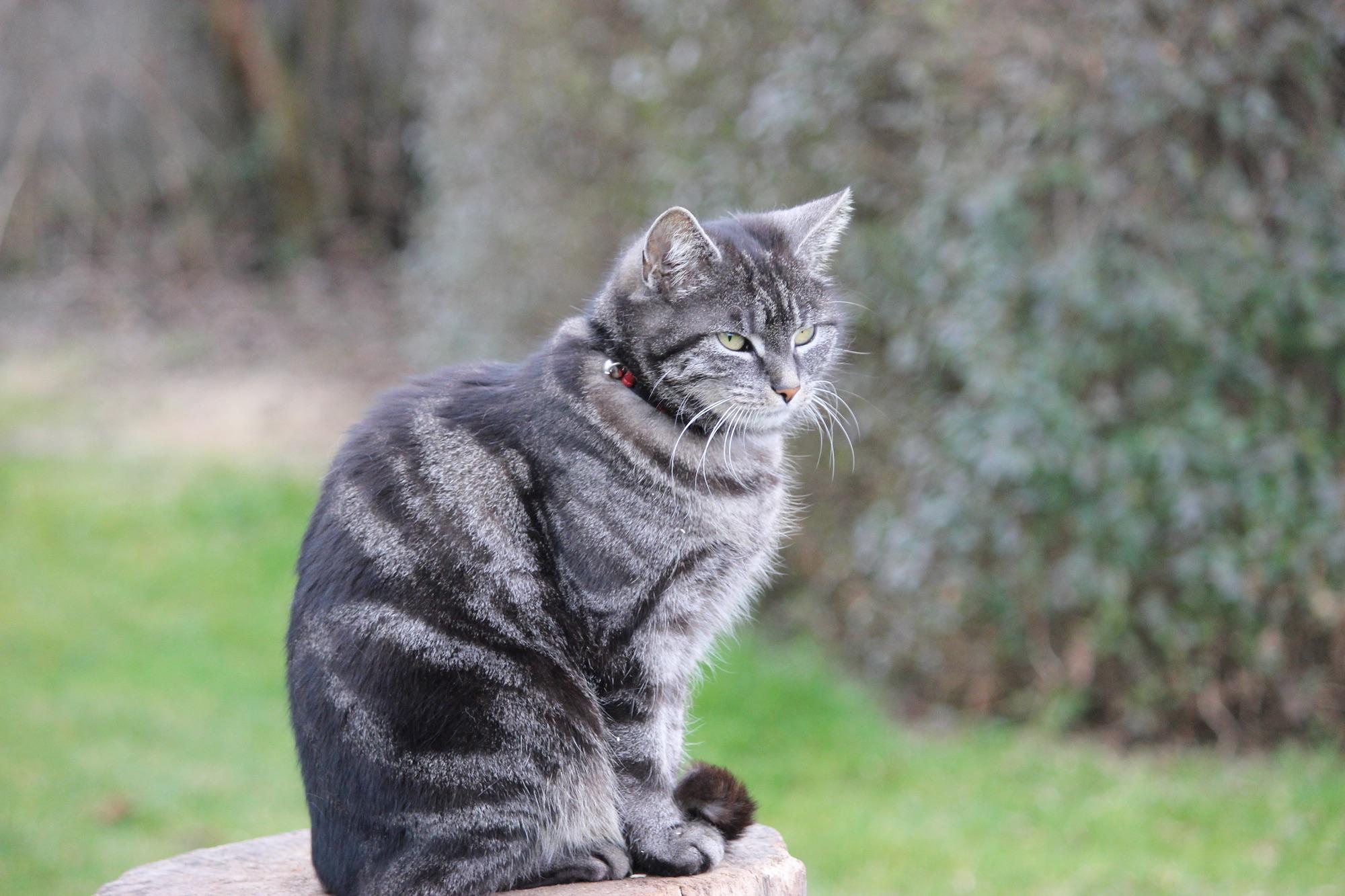 Free fauna whiskers vertebrate british shorthair