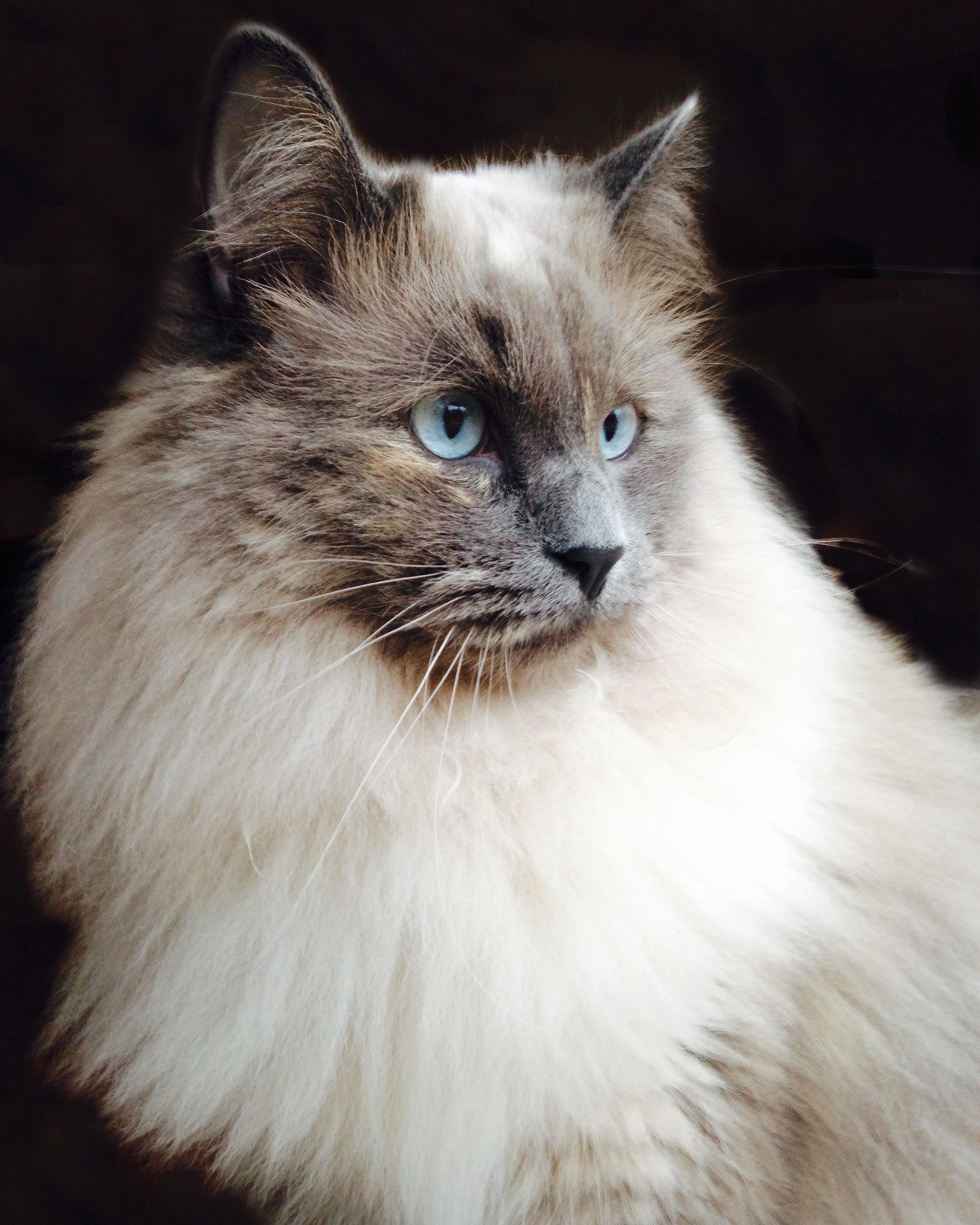 Free Images Fauna Whiskers Vertebrate Ragdoll Siberian
