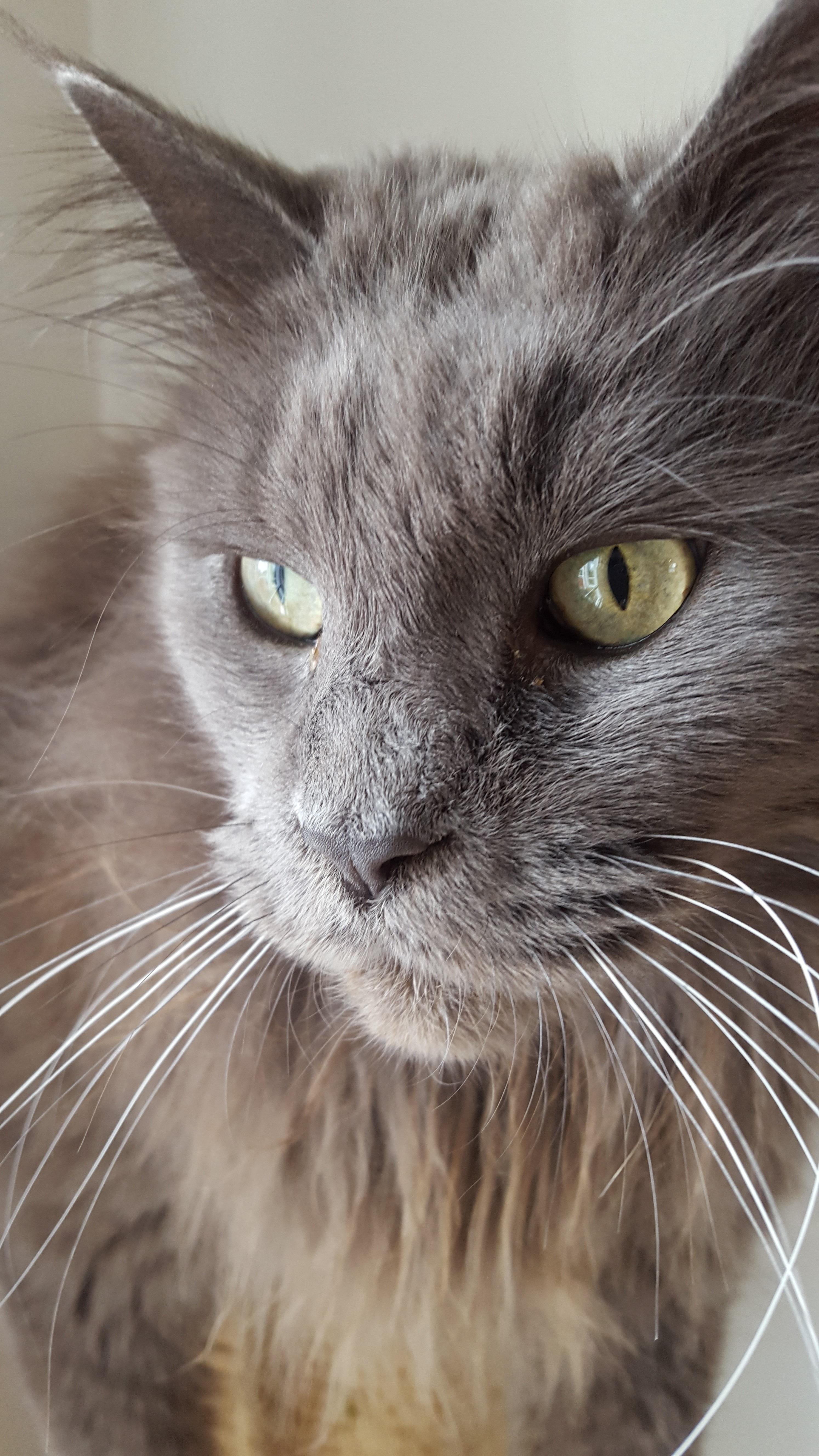 Images Gratuites  chat, gris, fermer, nez, moustaches, animaux, vertébré,  Maine coon, Chat norvégien de forêt, Europeen shorthair, Petits à moyens  chats,
