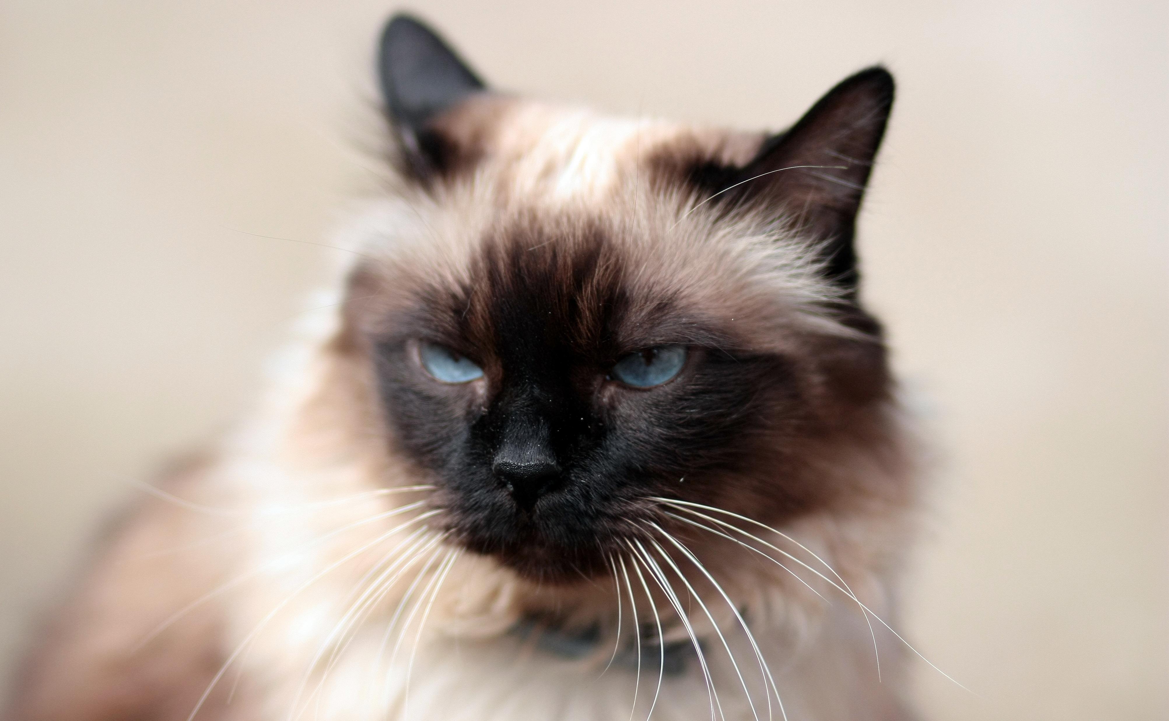Tlustá kočička zblízka